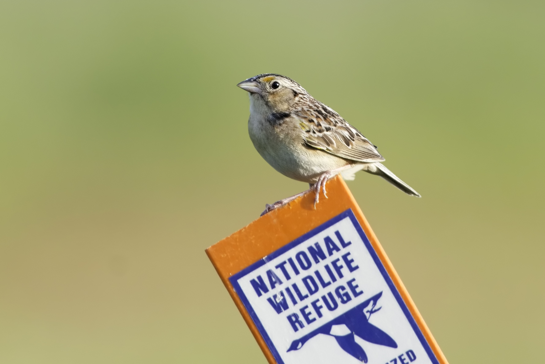 """- Grasshopper Sparrow (Ammodramus savannarum)Grasshopper Sparrows live in open areas such as prairies and grasslands. Their diet consists of insects, and as their name suggests, is very grasshopper-based. They weigh 0.5-0.7 oz. and have a wingspan of 4.3-4.7 in. Grasshopper Sparrows are also named because of their song, which is a """"kip-kip-zeeeee"""" that resembles a grasshopper. They are protected on the US Migratory Bird list.Photo Credits: Kelly Colgan Azar"""