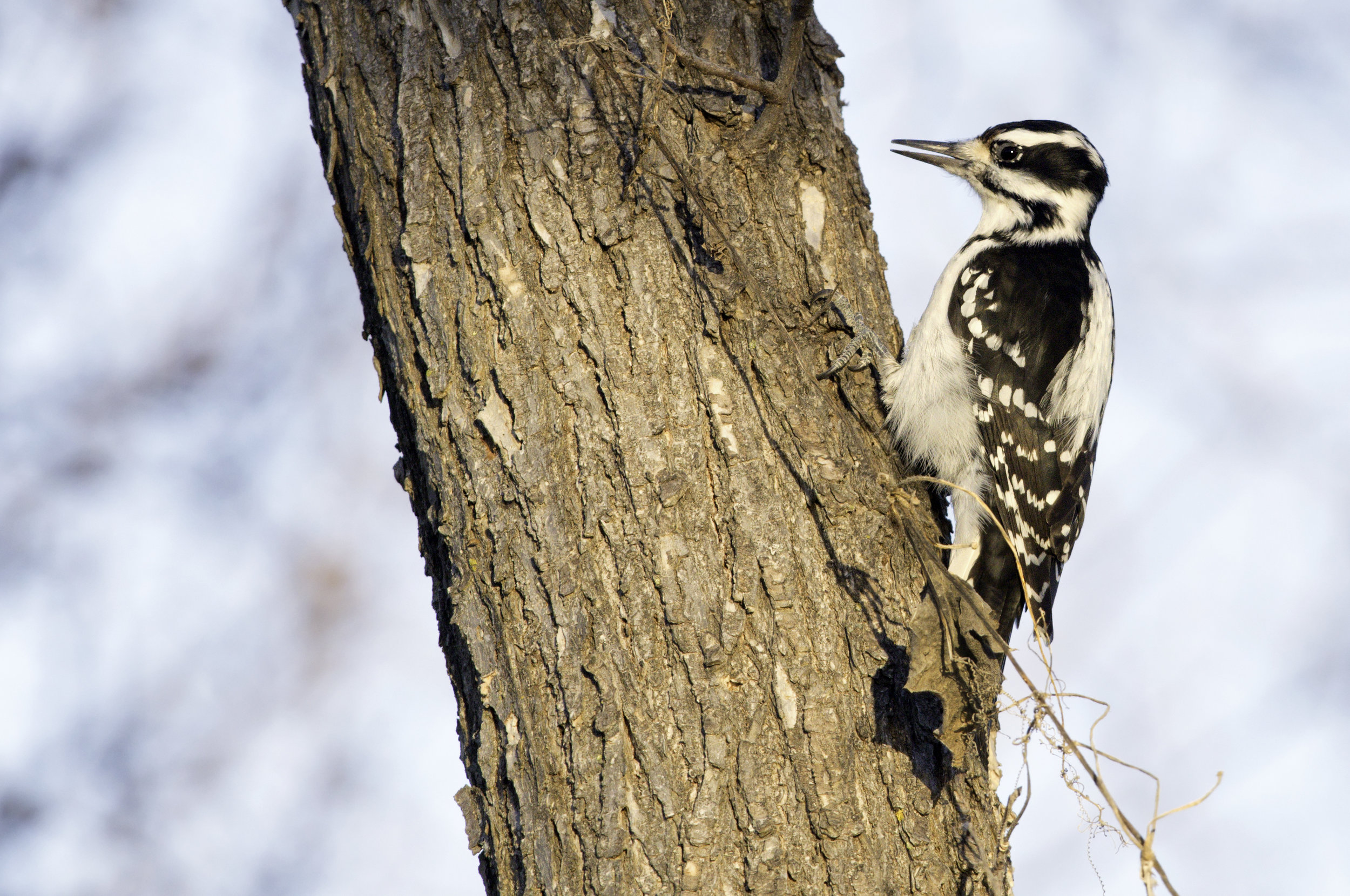 """- Hairy Woodpecker (Picoides villosus)Hairy Woodpeckers live in deciduous, coniferous, and mixed forests. Their diet consists mainly of wood-boring insects, but also includes flying insects, seeds, and some sap. Their wingspan is 13-16.1 in. and they weigh 1.4-3.4 oz. Hairy Woodpeckers and Downy Woodpeckers are often confused with each other, but can be differentiated by their beaks and overall sizes. They drum on trees and make a """"peek"""" noise that is lower than the Downy's. They are protected on the US Migratory Bird list.Photo Credits: Kelly Colgan Azar"""