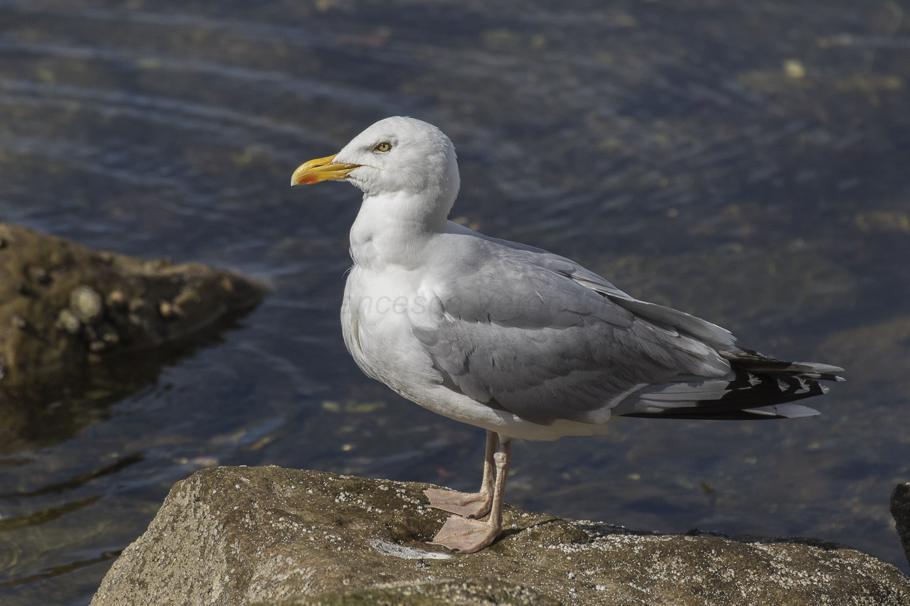 """- Herring Gull (Larus argentatus)Herring Gulls live on the coasts of bodies of water such as bays, oceans, and lakes. They also live in open areas that have water. Their diet consists of aquatic invertebrates, fish, mollusks, earthworms, and other bird eggs. They weigh 1.8-2.8 lbs. And have a wingspan of 4.5-4.8 ft. Their call is """"kuk-kuk-kuk-kuk"""" or """"yucca-yucca-yucca."""" They are protected on the US Migratory Bird list.Photo Credits: Francesco Veronesi"""