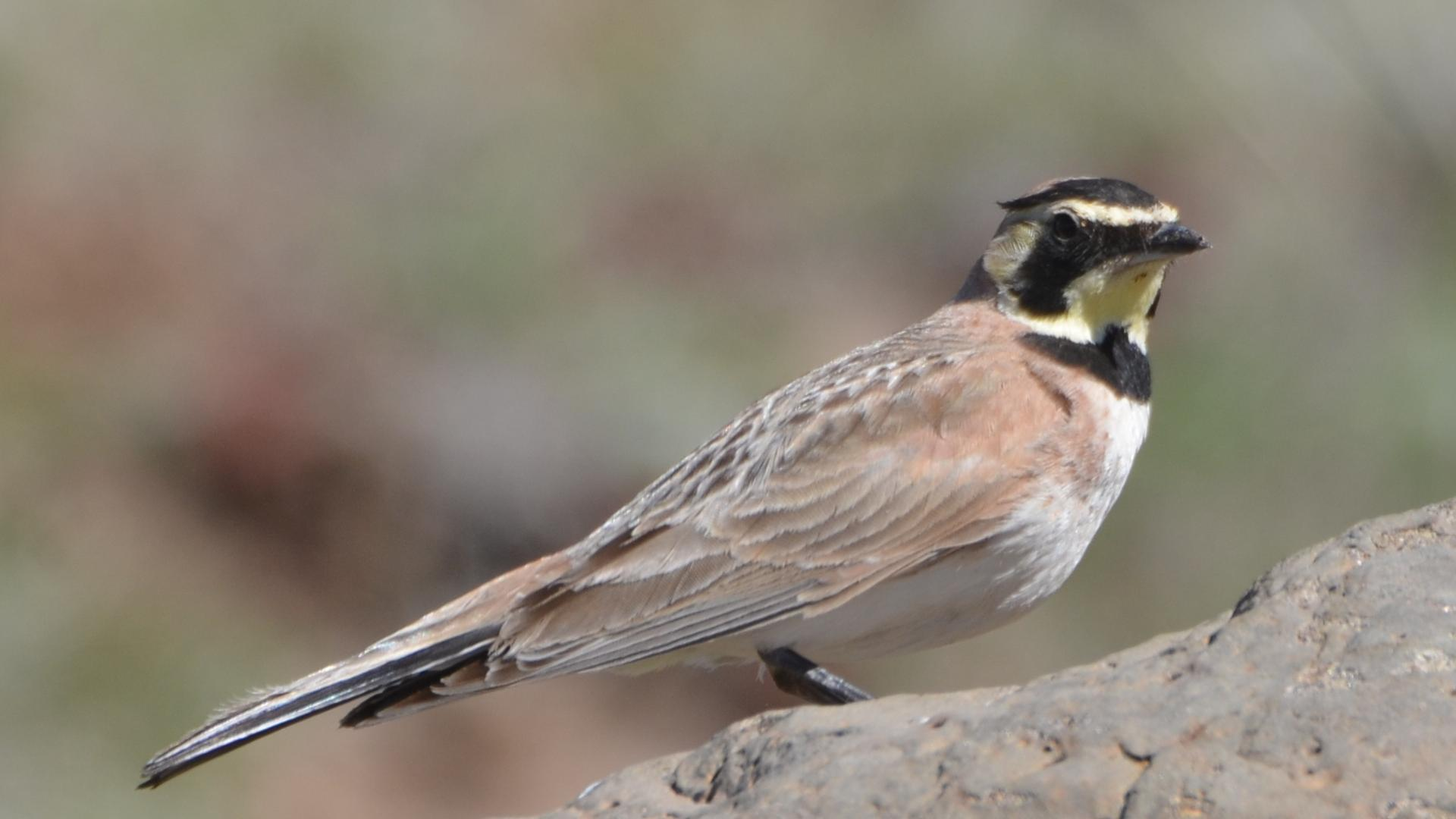"""- Horned Lark (Aremophila alpestris)Horned Larks live in areas that have short grass and little to no trees, such as certain prairies, grasslands, grazing meadows, and more urban areas. Their diet consists of seeds, insects, and other invertebrates. Their average wingspan is 11.8-13.4 in. and they weigh 1-1.7 oz. Horned Larks sing a series of tinkling """"ti-ti"""" phrases. They are protected on the US Migratory Bird list.Photo Credits: Andy Reago & Chrissy McClarren"""