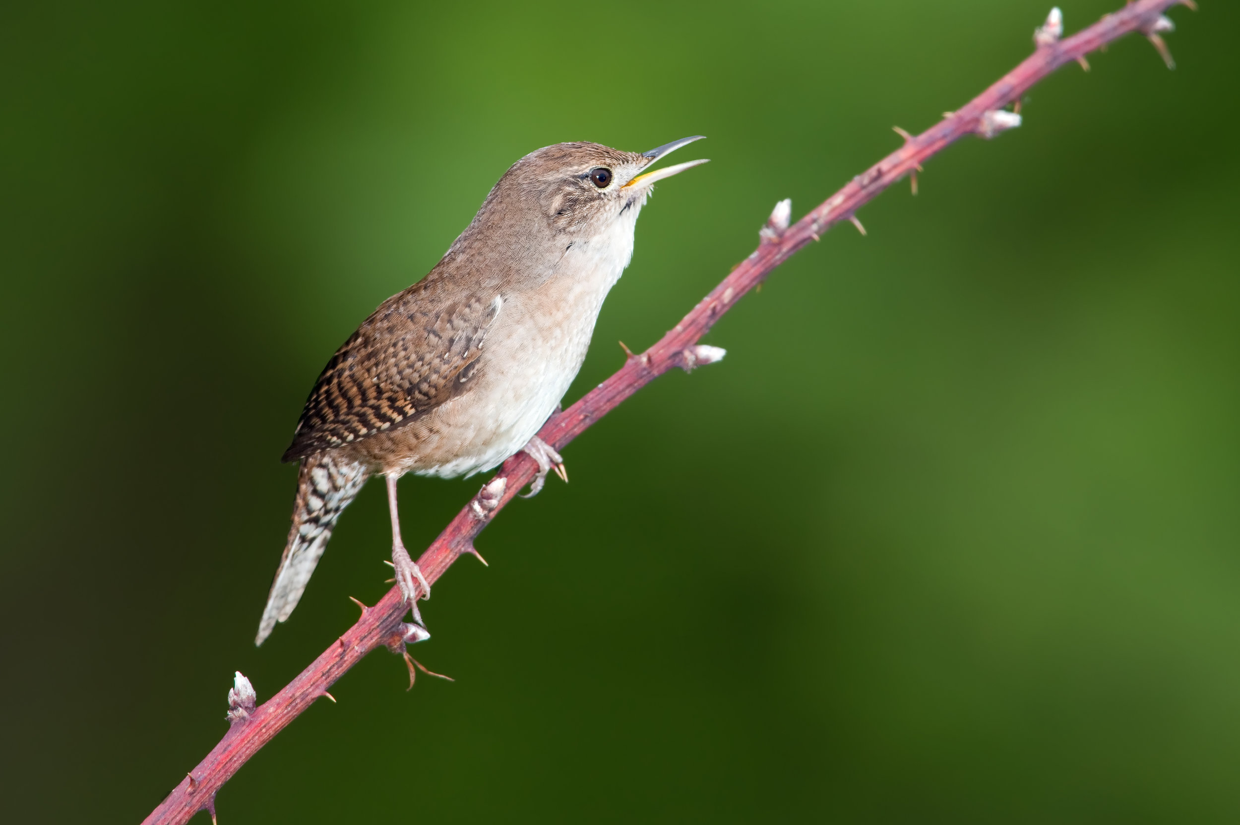 """- House Wren (Ttroglodytes aedon)House Wrens live absolutely anywhere there are trees, ranging from deciduous and coniferous forests to backyards and swamps. Their diet consists of insects, spiders, and snails. House Wrens weigh about 0.4 oz. and have an average wingspan of 5.9 in. They sing """"ch-ch-chur cha-chur cha-chur chchrruuuup"""" in a series of chirps. They are protected on the US Migratory Bird list.Photo Credits: Kelly Colgan Azar"""