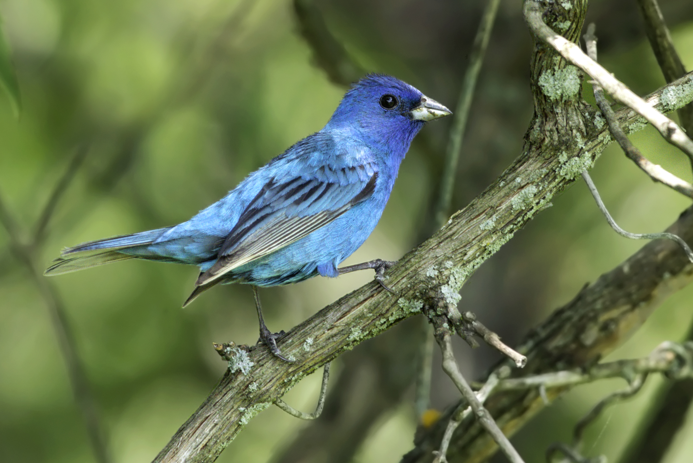"""- Indigo Bunting (Passerina cyanea)Indigo Buntings live in shrubby areas and on the edges of woodlands. They eat seeds, insects, and arachnids. Indigo Buntings have a wingspan of 7.5-8.7 in. and weigh about 0.4-0.6 oz. When migrating, they use the stars to navigate. Their common song is """"What? What? Where? Where? See it! See it!"""" They are protected on the US Migratory Bird lists.Photo Credits: Kelly Colgan Azar"""