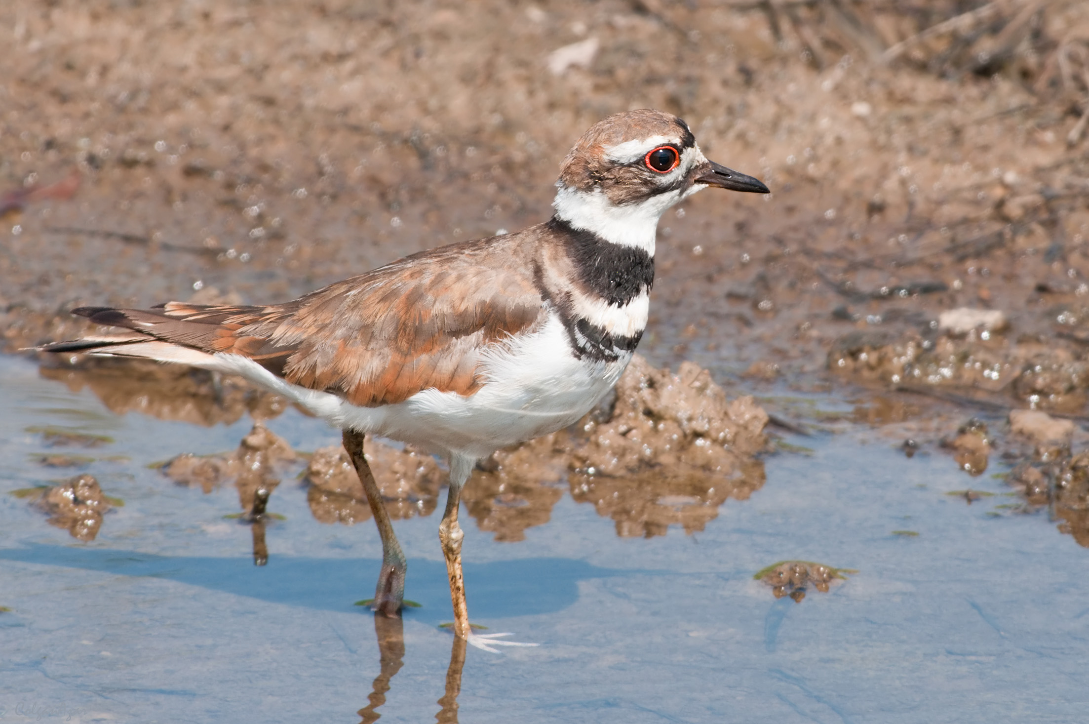 """- Killdeer (Charadrius vociferus)Killdeer are found in open areas such as fields, prairies, and empty lots. They are a type of plover, which are characterized by short beaks and longer legs. Killdeer are most commonly seen running quickly along the ground. Their main diet is invertebrates, such as worms and insects. They weigh around 2.6-4.5 oz. and have a wingspan of 18.1-18.9 in. Killdeer are named for the noise they make in flight, which is a high-pitched """"kill-deer.""""Photo Credits: Kelly Colgan Azar"""