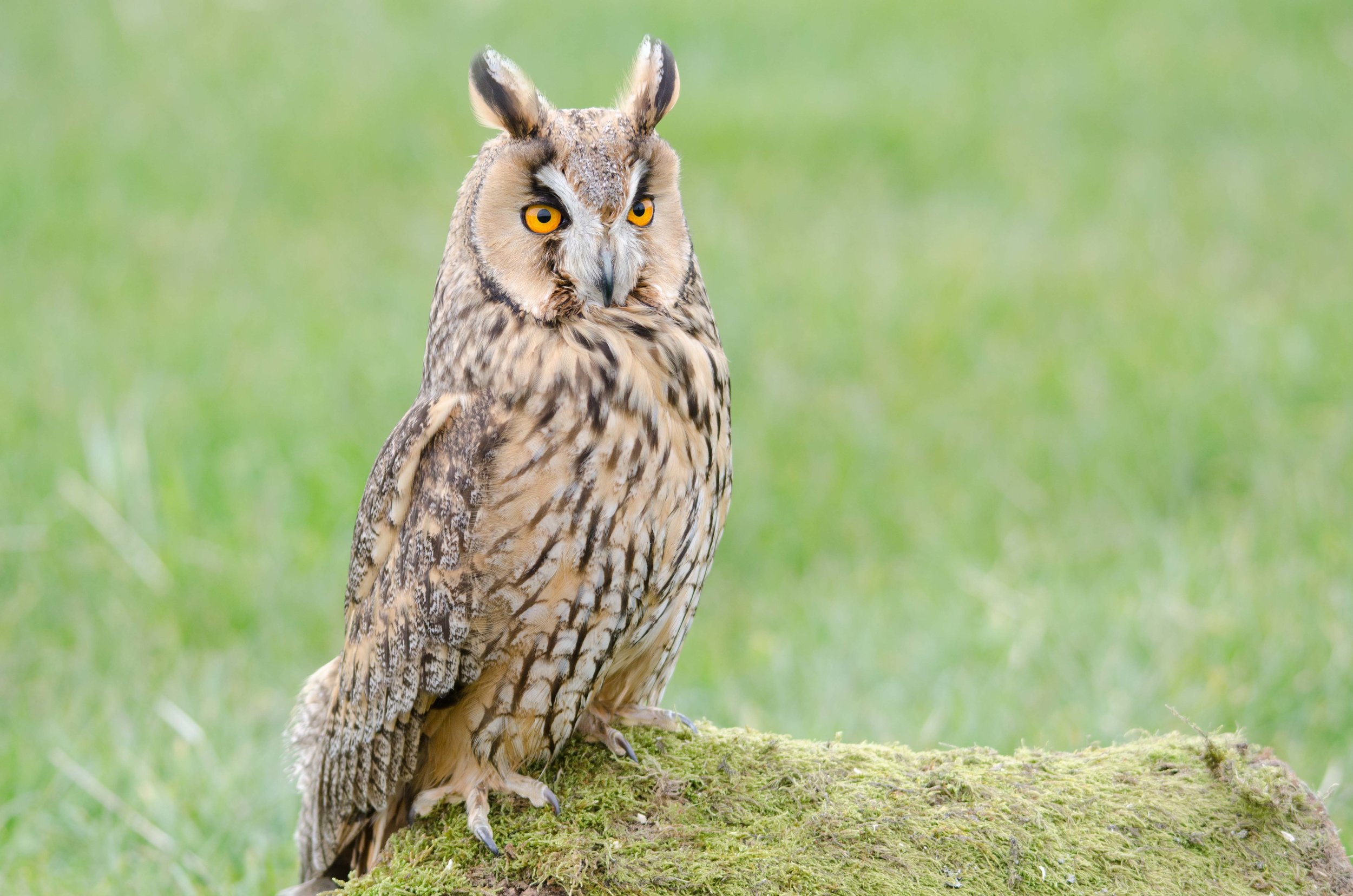 - Long-eared Owl (Asio otus)Long-eared Owls live in coniferous forests and other wooded areas. They weigh 7.8-15.3 oz. and have a wingspan is 35.4-39.4 in. Long-eared owls communicate by using musical hoots, single calls, shrieks, and physical displays. Long-eared owls eat voles, mice, shrews, small birds, small snakes, and insects. They are protected on the US Migratory Bird lists.Photo Credits: Darrel Birkett