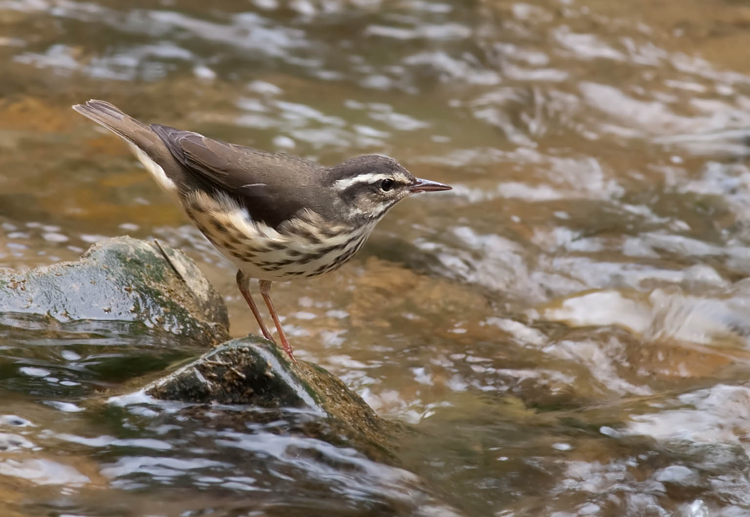 - Louisiana Waterthrush (Parkesia motacilla)Louisiana Waterthrushes live in deciduous forests near streams. Their diet consists of insects, crustaceans, mollusks, and some small fish. Their average wingspan is 9.4 in. and they weigh 0.7-0.8 oz. Louisiana Waterthrushes sing three clear notes that are followed by a short jumble. They are protected on the US Migratory Bird list.Photo Credits: Kelly Colgan Azar
