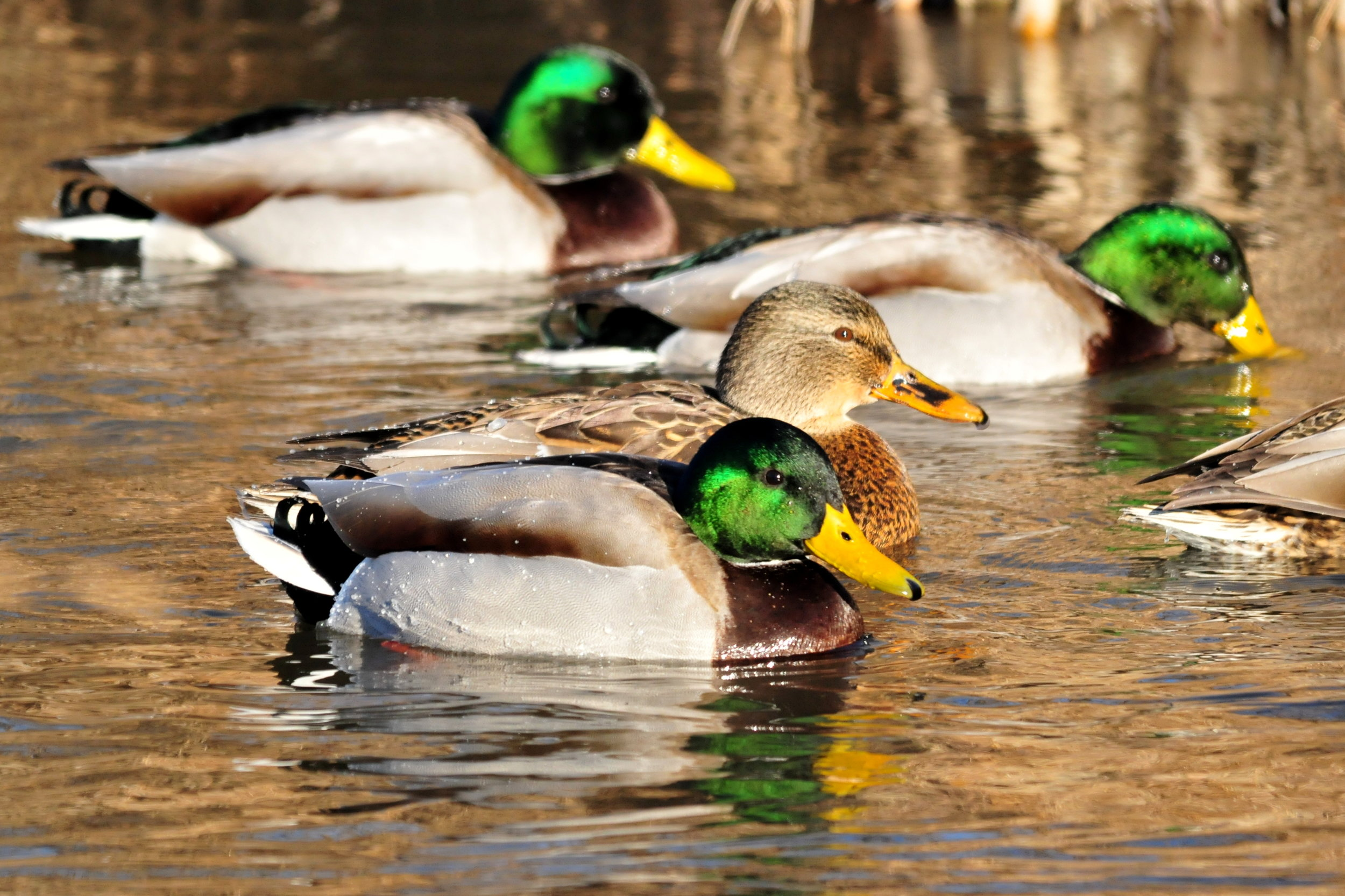"""- Mallard (Anas platyrhynchos)Mallards live in any available source of water, such as rivers, lakes, ponds, and other man-made bodies. Their diet includes aquatic animals such as tadpoles, insects, and crustaceans, and plant matter such as tubers, leaves, and seeds. They weigh 2.2-2.9 lbs. and have a wingspan of 2.7-3.1 ft. Female mallards make the well-known """"quack"""" noise, whereas males do not quack, but make a raspy noise. They are protected on the US Migratory Bird list.Photo Credits: Tom Koerner/USFWS"""