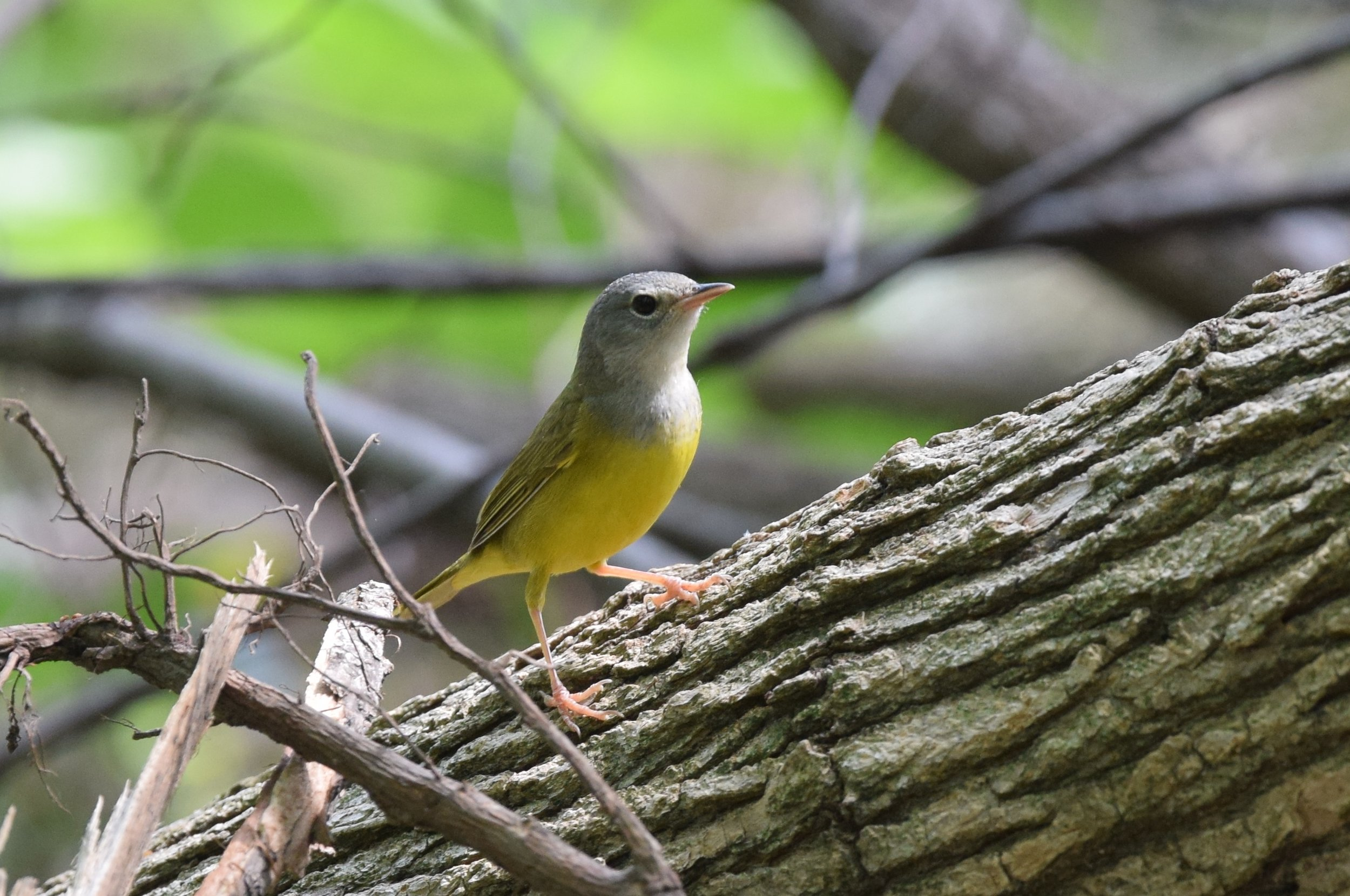 """- Mourning Warbler (Geothlypis philadelphia)Mourning Warblers live in shrubby, dense undergrowth in deciduous forests. They eat insects and Cecropia plant matter. Their average wingspan is 7.1 in. and they weigh 0.4-0.5 oz. Mourning Warblers sing """"chirry-chirry-chirry-choory-choory"""" that descends in pitch. They are protected on the US Migratory Bird list.Photo Credits: Andy Reago & Chrissy McClarren"""