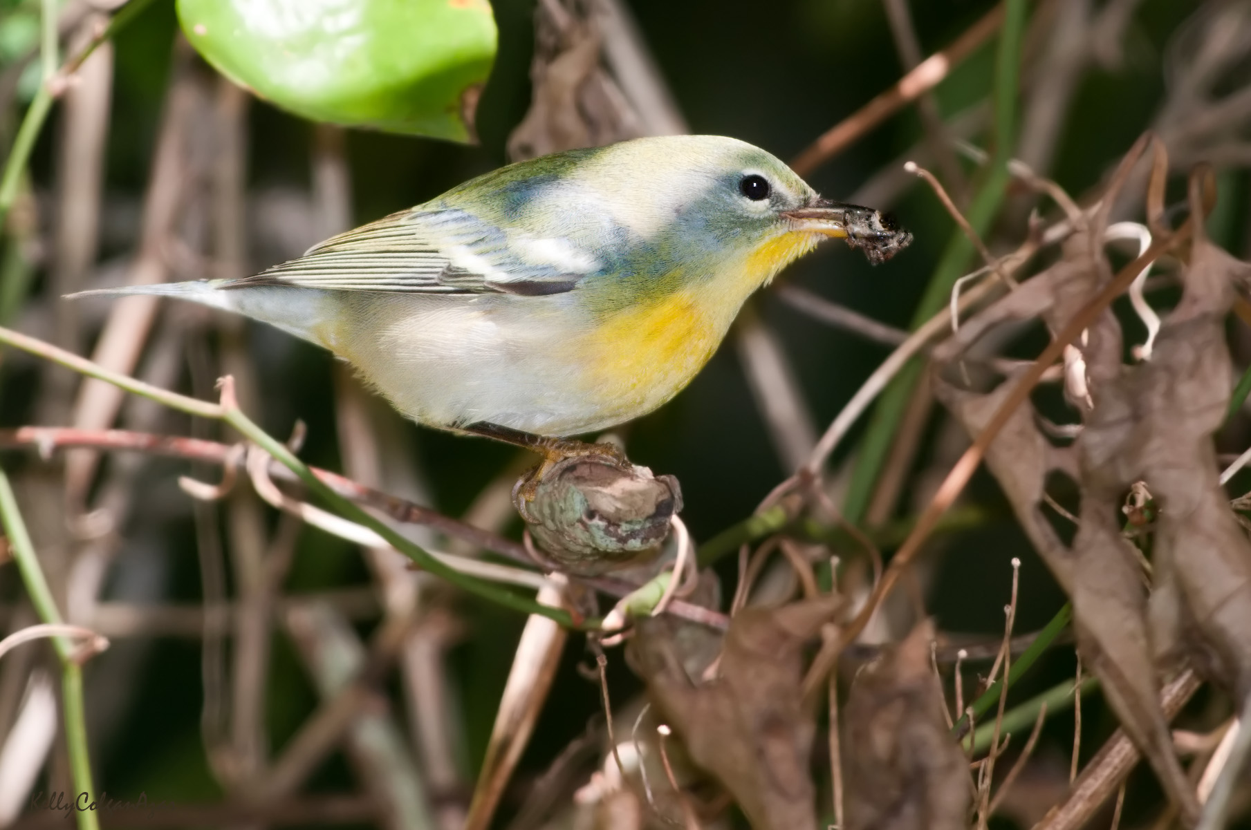 - Northern Parula Warbler (Setophaga americana)Northern Parula Warblers live mostly in deciduous forests near moving water that has moss to build nests with. They eat insects, berries, seeds, and some buds. Their wingspan is 6.3-7.1 in. and they weigh 0.2-0.4 oz. Northern Parula Warblers sing a buzzy trill. They are protected on the US Migratory Bird list.Photo Credits: Kelly Colgan Azar