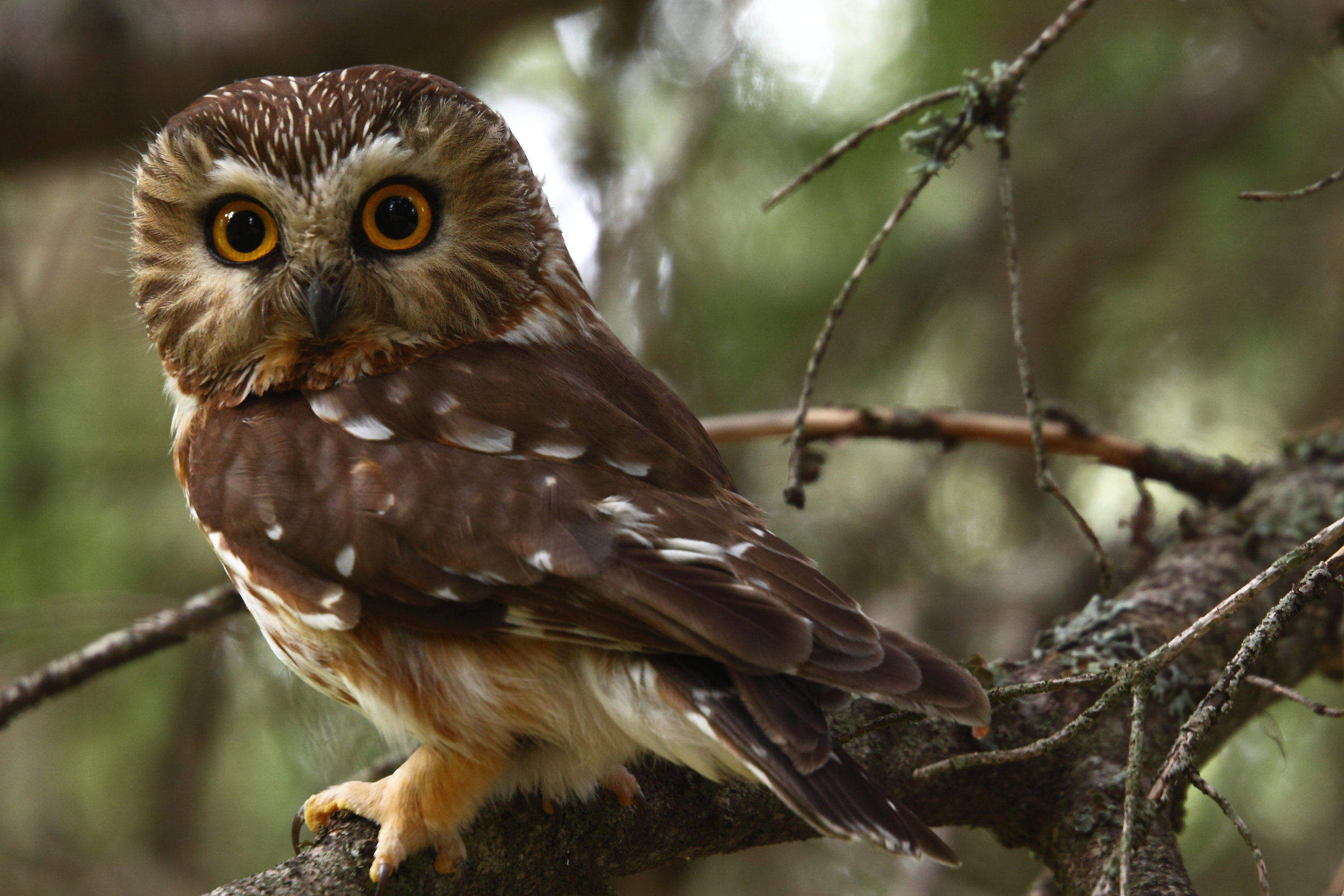 """- Northern Saw-whet Owl (Aegolius acadicus)Northern Saw-whet Owls live in coniferous forests, mixed forests, and deciduous forests. They weigh about 2.3-5.3 oz. with a wingspan of 16.5-18.9 in. Northern Saw-whet owls allopreen, which is taking care of one another's feathers. Northern Saw-whets eat voles, mice, shrews, squirrels, small birds, and insects. Common calls of the Northern Saw-whet include """"too-too-too"""" and a """"tsst"""" noise. They are protected on the US Migratory Bird lists.Photo Credits: Kameron Perensovich"""