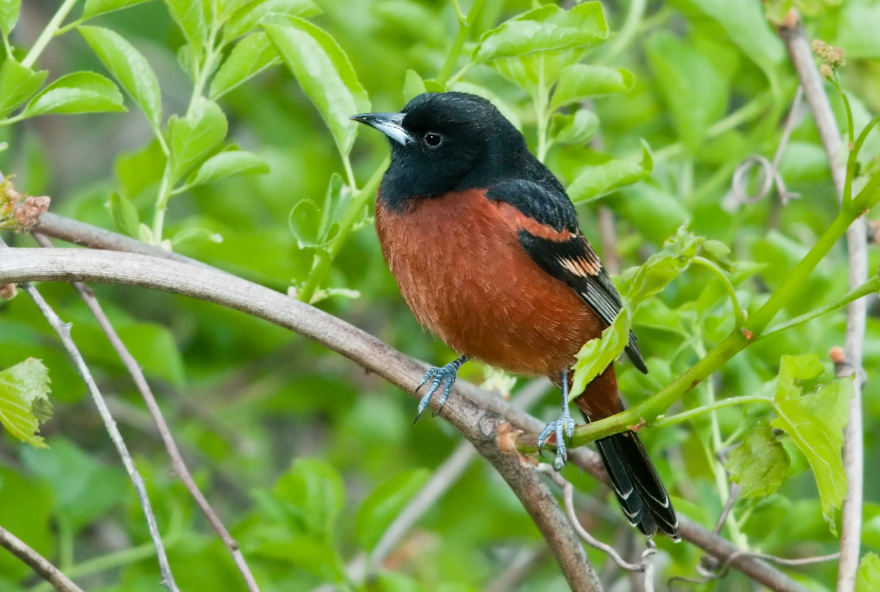 """- Orchard Oriole (Icterus spurius)Orchard Orioles live in open woodlands and areas with scattered trees, such as orchards, parks, and the edges of bodies of water. Their diet includes insects, berries, and nectar. Their average wingspan is 9.8 in. and they weigh 0.6-1 oz. Orchard Orioles do not have the bright orange of most others, instead brandishing a more burnt rust color on their breasts. Their call begins with a """"chuk"""" and continues with a chatter, and their song is a series of whistling notes. They are protected on the US Migratory Bird list.Photo Credits: Kelly Colgan Azar"""