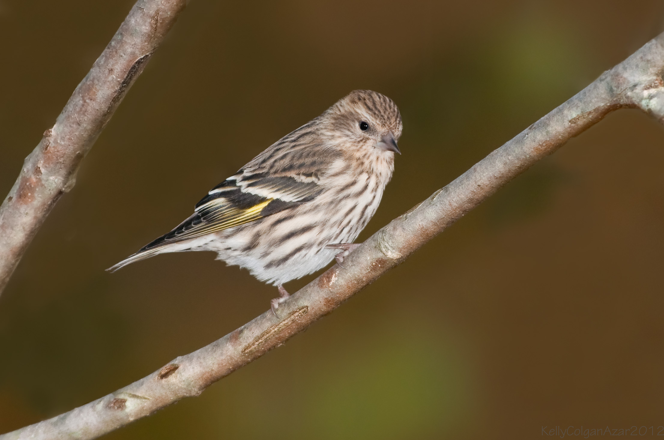 - Pine Siskin (Spinus pinus)Pine Siskins live in coniferous and mixed woodlands. Their diet consists of seeds, some insects, and minerals such as salt. They weigh 0.4-0.6 oz. and have a wingspan of 7.1-8.7 in. Pine Siskins sing a buzzy, chirpy song. They are protected on the US Migratory Bird list.Photo Credits: Kelly Colgan Azar