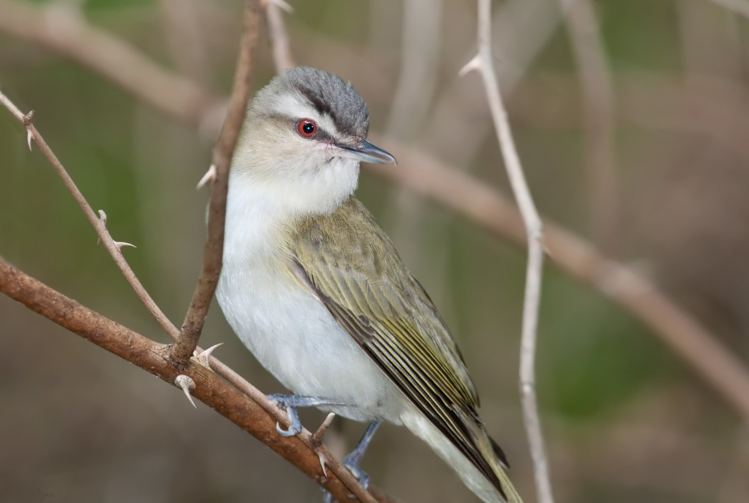 """- Red-eyed Vireo (Vireo olivaceus)Red-eyed Vireos live mostly in deciduous forests. Their diet consists of insects, berries, and some fruit. The Vireo's """"Red eye"""" does not develop until after their first year, when it changes from brown to a shade of red. Their wingspan is 9.1-9.8 in. and they weigh 0.4-0.9 oz. One of the Red-eyed Vireo's calls says """"myah"""" in a nasal tone. They are protected on the US Migratory Bird list.Photo Credits: Kelly Colgan Azar"""
