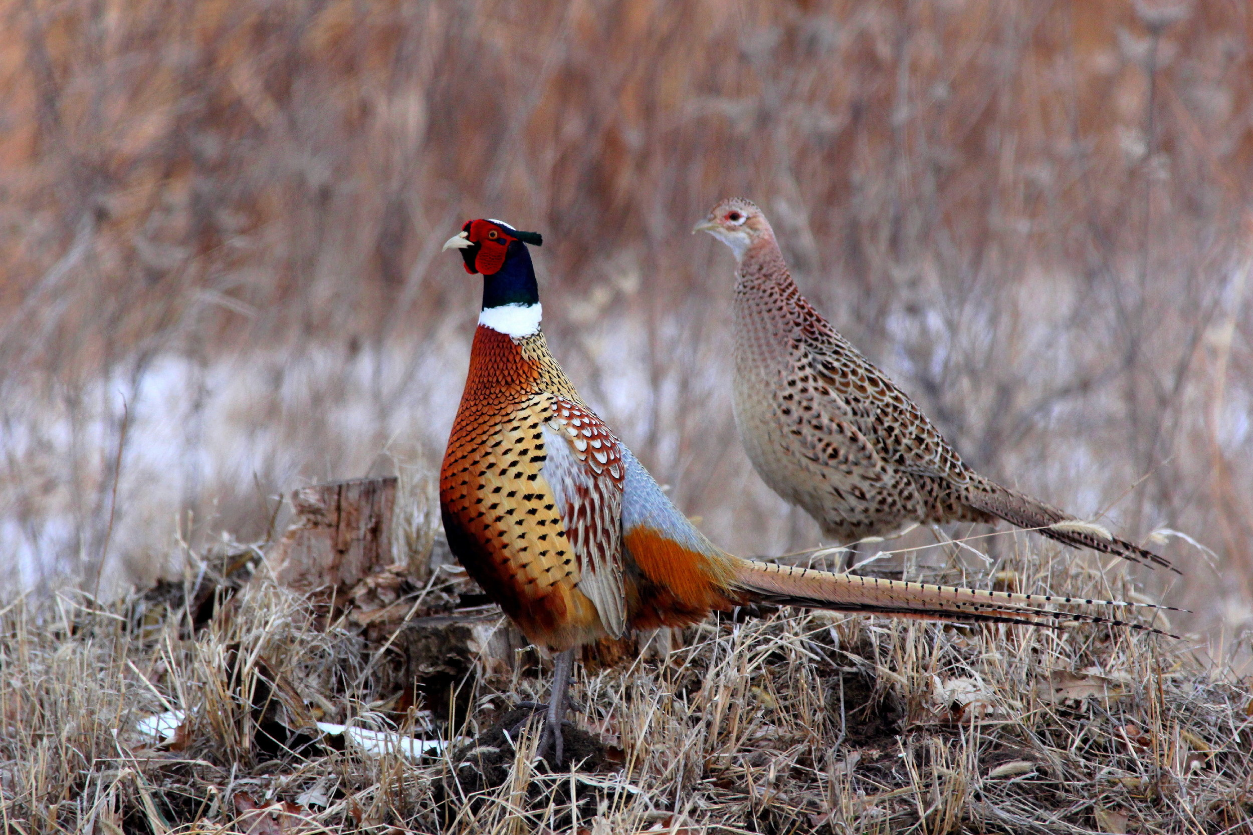 """- Ring-necked Pheasant (Phasianus colchicus)Ring-necked Pheasants live in grassy areas such as grasslands, prairies, fields, and meadows. Their diet includes insects, seeds, and other plant matter. They have a wingspan of 22-33.9 in. and weigh 1.1-6.6 lbs. Ring-necked Pheasants are native to Asia, but were brought to other continents as game birds. Their call is that of multiple """"caw-caw"""" phrases. They are NOT protected on the US Migratory Bird list.Photo Credits: Jerry Reed/WisconsinDNR"""