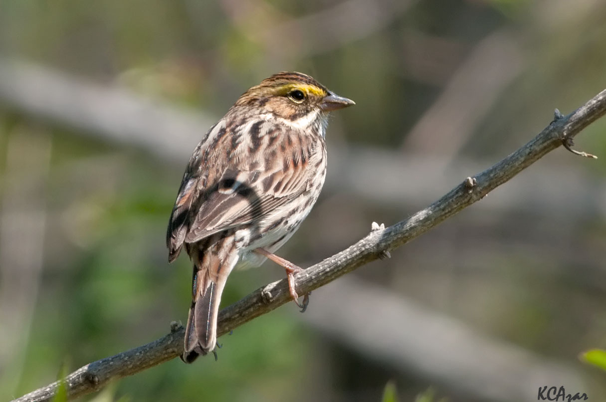 """- Savannah Sparrow (Passerculus sandwichensis)Savannah Sparrows live in open areas such as grasslands, fields, wetlands, and tundra. Their diet includes insects, arachnids, and seeds. They weigh 0.5-1 oz. and have a wingspan of 7.9-8.7 in. Savannah Sparrows sing """"tsip-tsip-tsip-tsip-te-te-tzerrrrr."""" They are protected on the US Migratory Bird list.Photo Credits: Kelly Colgan Azar"""