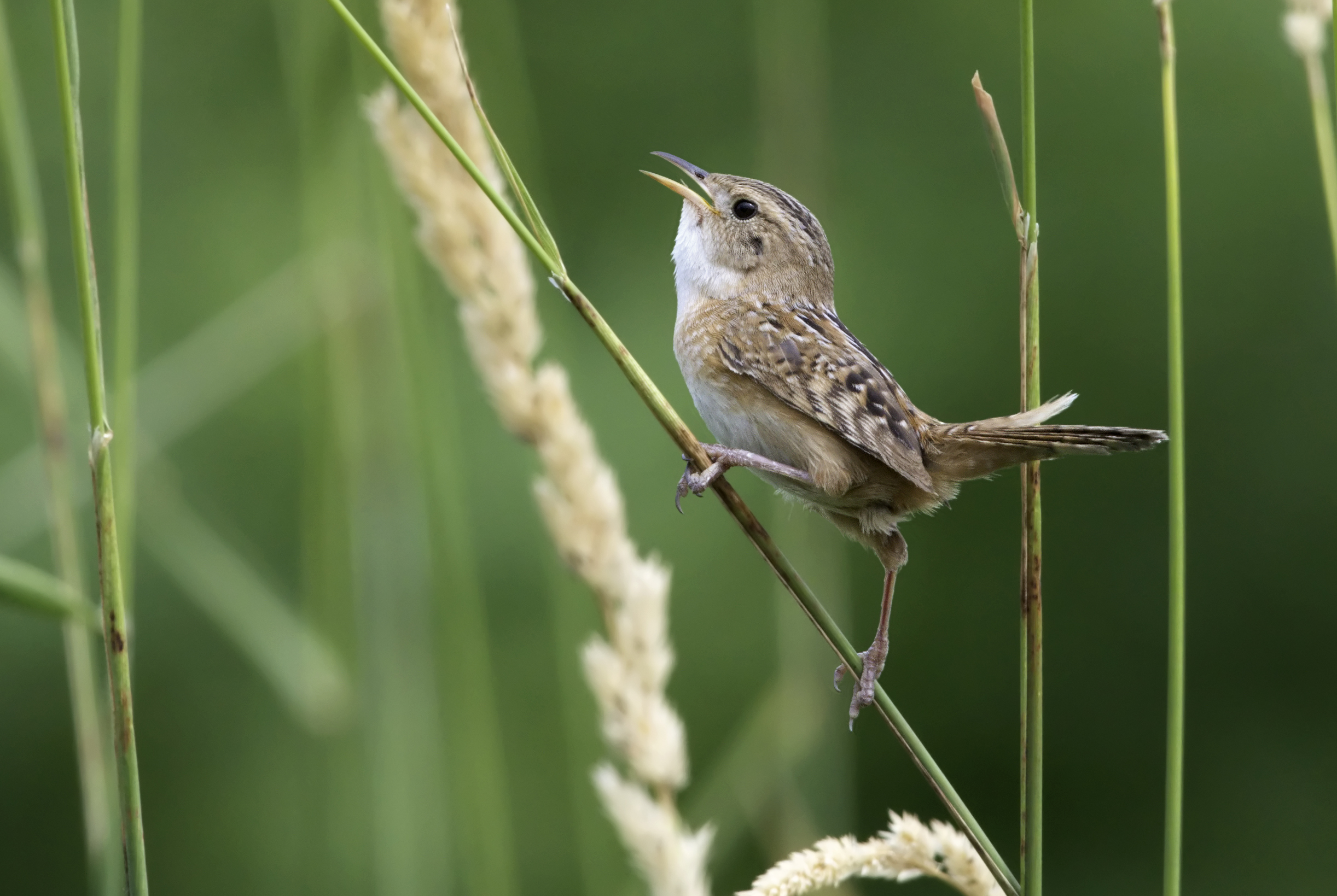 """- Sedge Wren (Cistothorus platensis)Sedge Wrens live in sedges in wetlands such as marshes. Their diet includes insects and spiders. Sedge Wrens grow to be 3.9-4.7 in. in length. Their call sounds like two stones being hit together, like a """"chip."""" They are protected on the US Migratory Bird list.Photo Credits: Kelly Colgan Azar"""