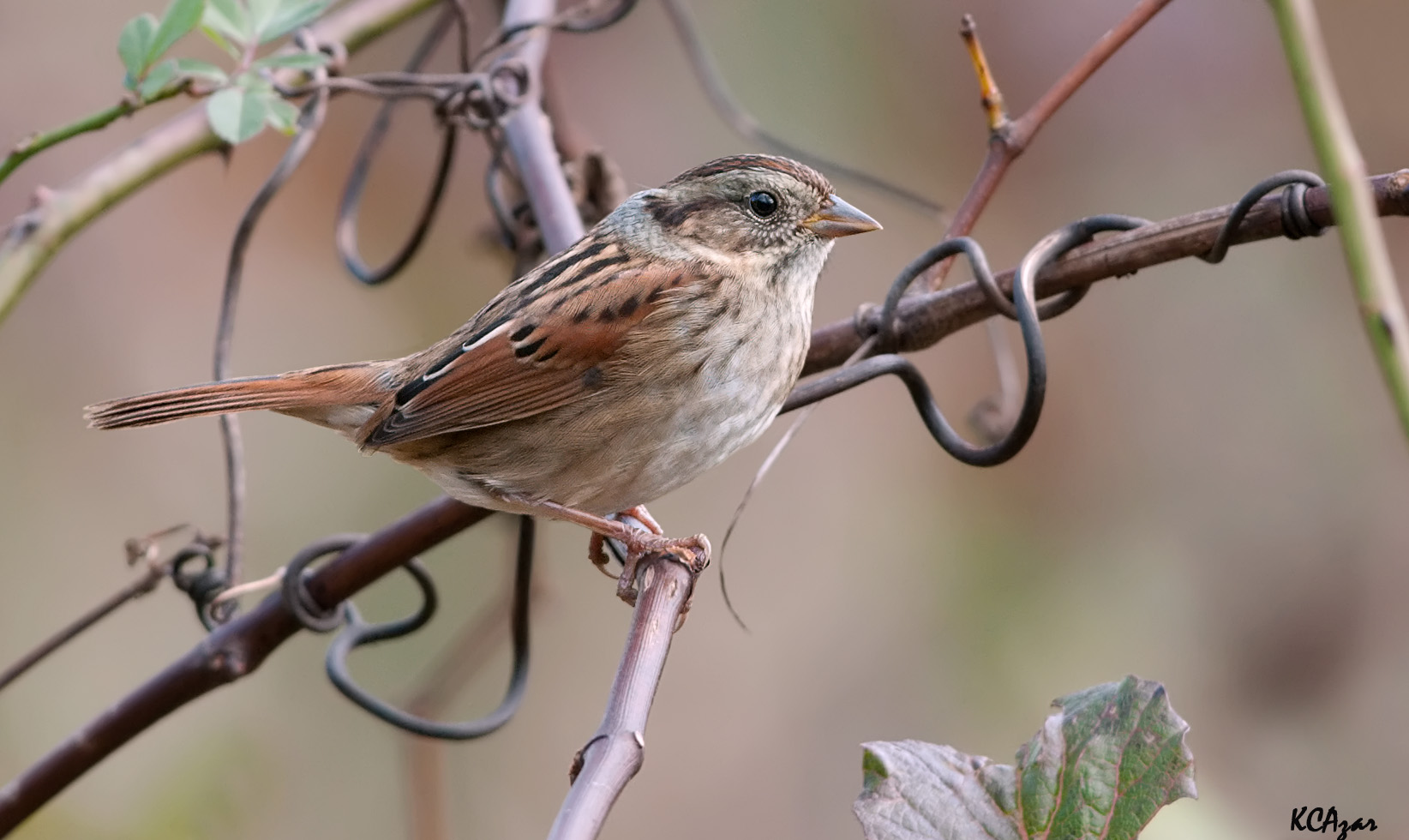 - Swamp Sparrow (Melospiza georgiana)Swamp Sparrows live in marshes and wetland areas. Their diet consists of insects and seeds. Their wingspan is 7.1-7.5 in. and they weigh 0.4-0.8 oz. Swamp Sparrows sing a trill note. They are protected on the US Migratory Bird list.Photo Credits: Kelly Colgan Azar