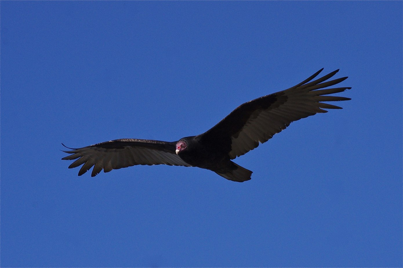 """- Turkey Vulture (Cathartes aura)Turkey Vultures live in mostly open areas, but also partially wooded areas. Their diet consists of dead animals, or carrion, and occasionally decaying plant matter. Unlike most birds, they have a good sense of smell in order to locate their food. Their wingspan can be 5.5-6 ft. and is characterized by a wobbly """"V"""" when soaring. They are 2-3 ft. tall and weigh about 4.4 lbs. Turkey Vultures do not have vocal chords, so they do not have any distinct calls besides rare hisses made when threatened. They are protected on the US Migratory Bird list.Photo Credits: David Merrett"""