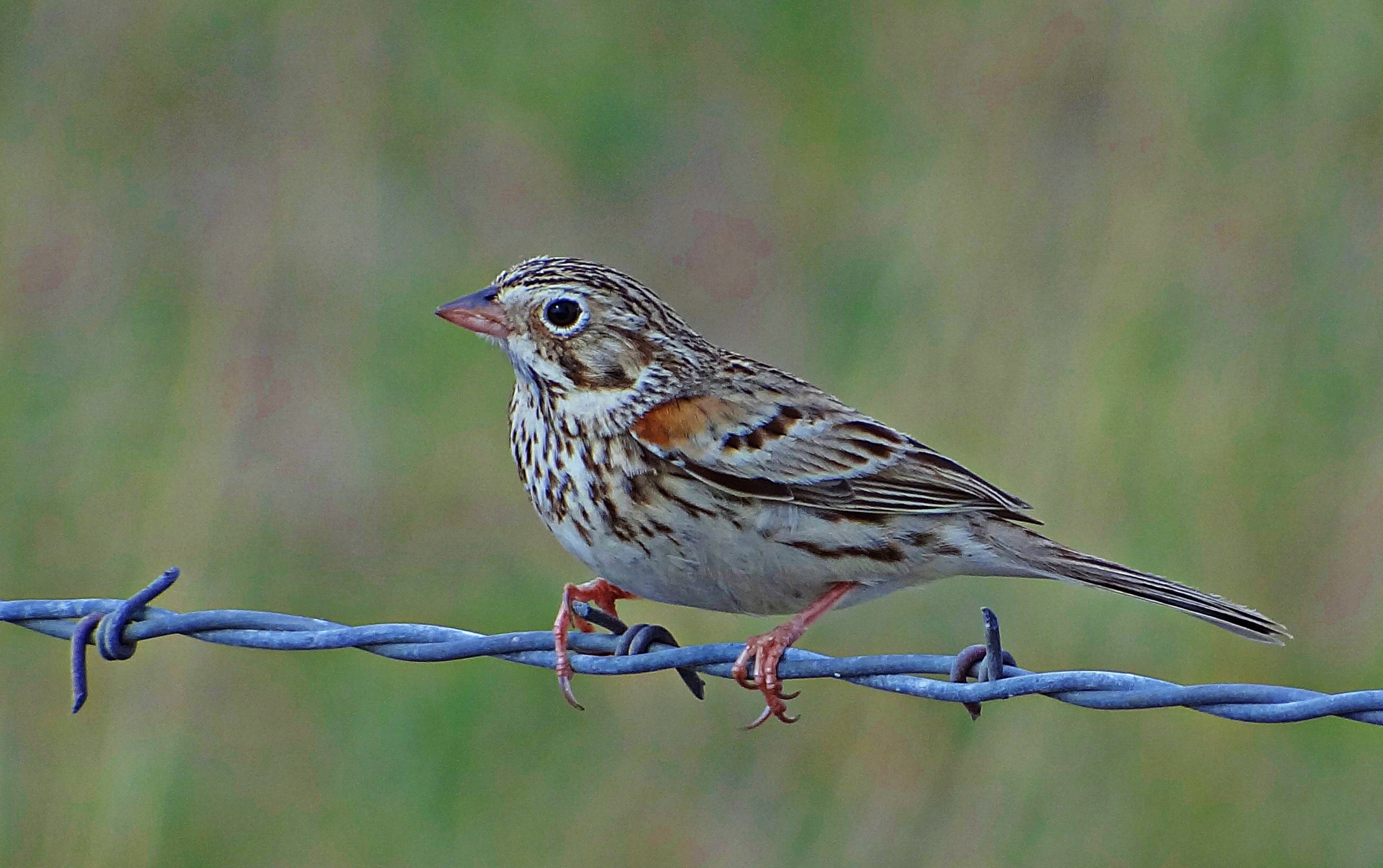 """- Vesper Sparrow (Pooecetes gramineus)Vesper Sparrows live in open areas such as meadows, prairies, and grasslands. Their diet consists of seeds, insects, and arachnids. They have an average wingspan of 9.4 in. and weigh 0.7-1 oz. Vesper Sparrows sing """"come-come-where-where-all-together-down-the-hill."""" They are protected on the US Migratory Bird list.Photo Credits: Jay Phagan"""