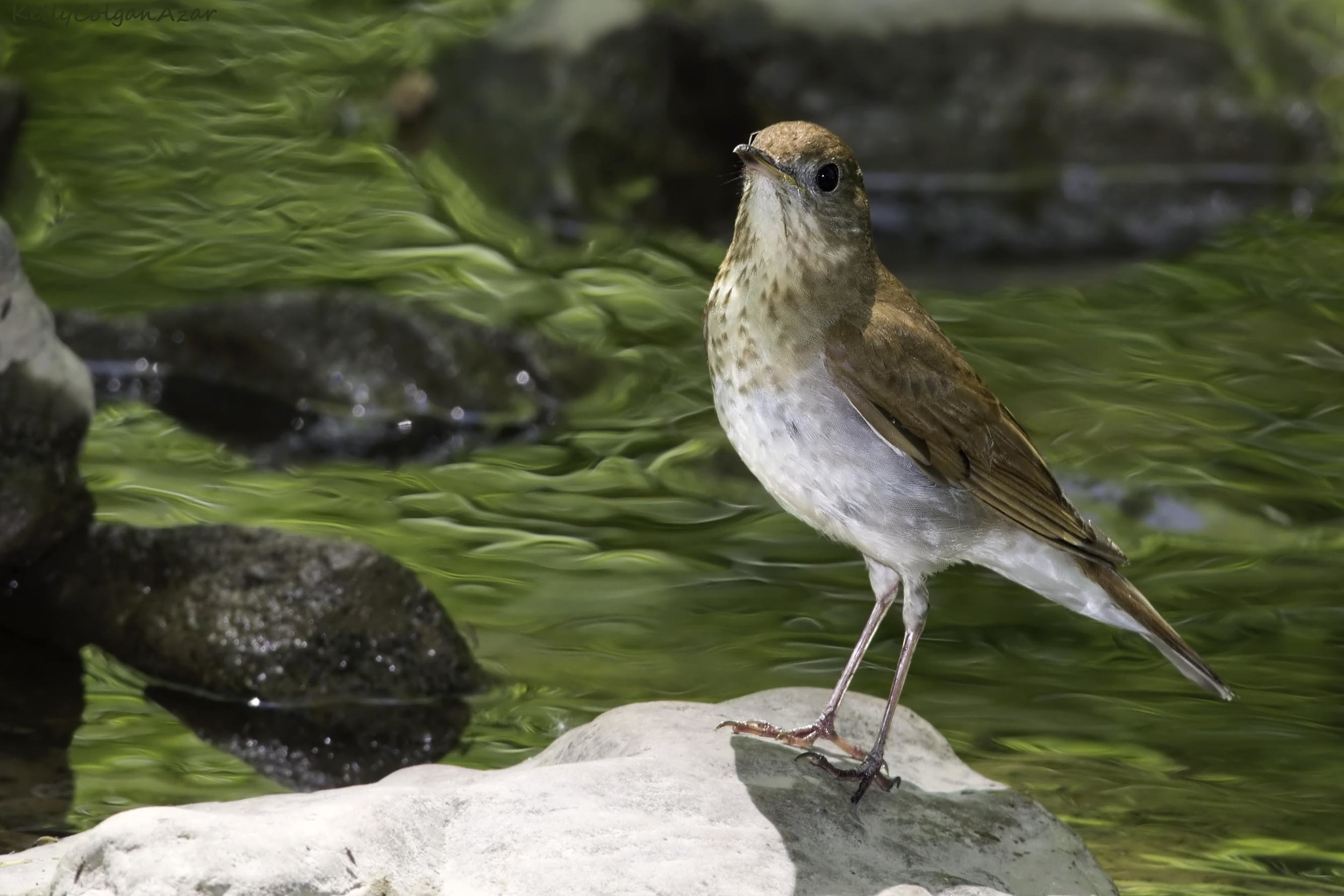 """- Veery (Catharus fuscescens)Veeries live mostly in deciduous forests that are wet. Their diet consists of insects, small amphibians, and berries. They weigh 1-1.9 oz. and have a wingspan of 11-11.4 oz. Veeries sing a trill followed by """"wheew""""s. They are protected on the US Migratory Bird list.Photo Credits: Kelly Colgan Azar"""