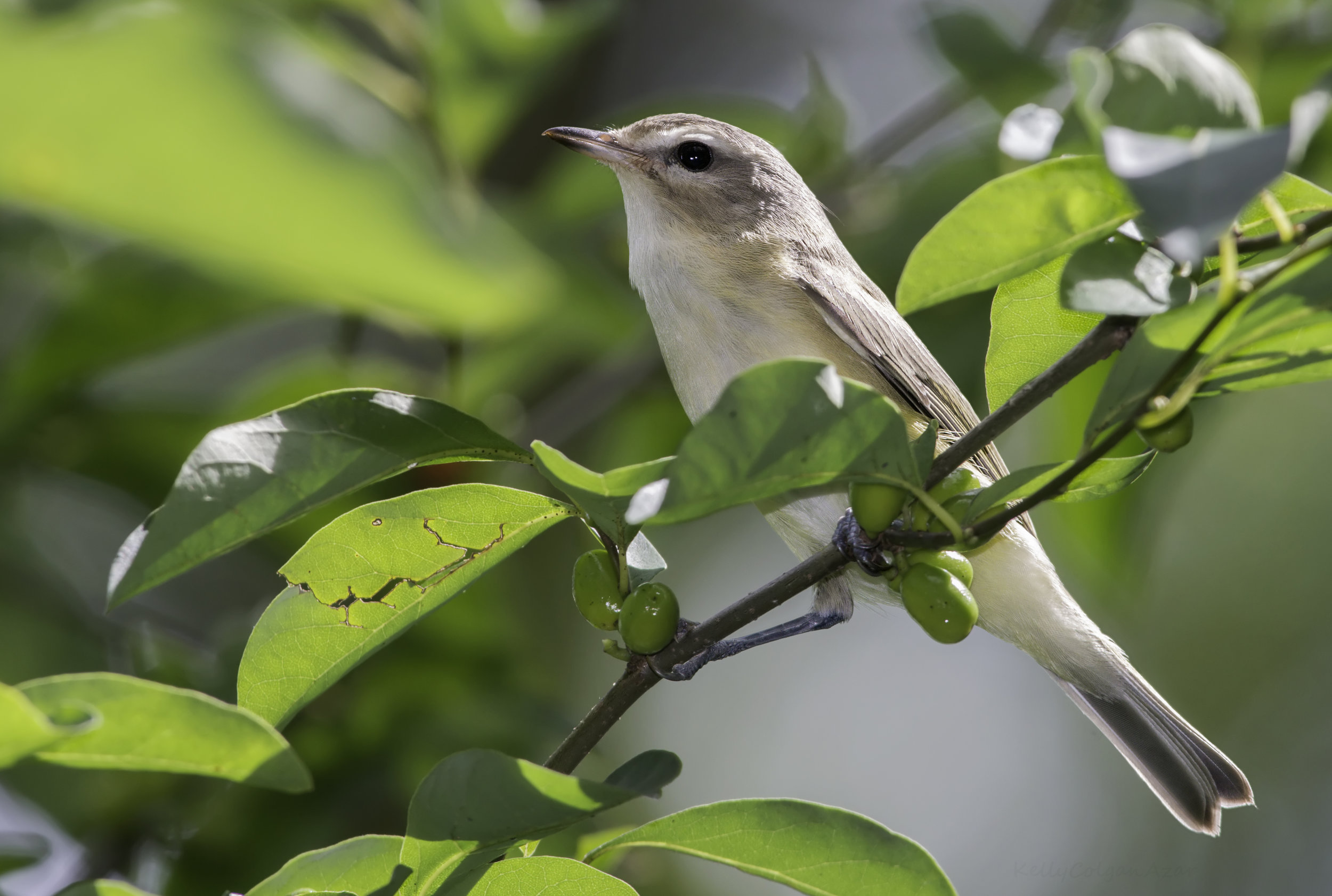 - Warbling Vireo (Vireo gilvus)Warbling Vireos live in deciduous and mixed woods. Their diet consists of insects such as butterflies and their larvae, beetles, and arachnids, and berries. Their wingspan is about 8.7 in. and they weigh 0.4-0.6 oz. Like their name suggests, the Warbling Vireo's song is warbled, and ends with a higher pitched note than the rest. They are protected on the US Migratory Bird list.Photo Credits: Kelly Colgan Azar