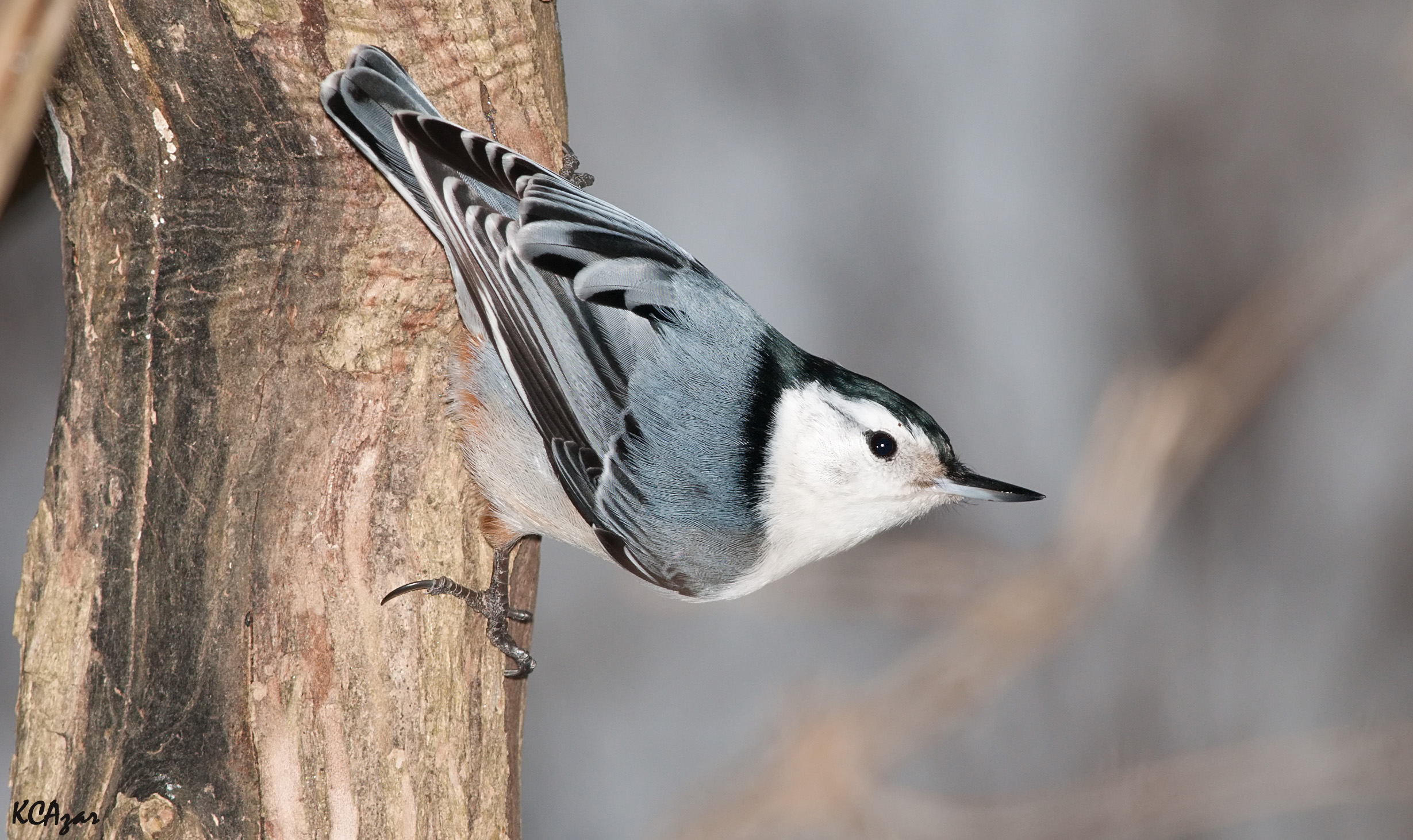 """- White-breasted Nuthatch (Sitta carolinensis)White-breasted Nuthatches are the largest among nuthatches and live mostly in deciduous forests. They eat seeds, insects, and nuts. White-breasted Nuthatches are most likely going to be seen hanging upside down on the sides of trees due to their strong feet. They have a wingspan of 7.9-10.6 in. and weigh about 0.6-1.1 oz. Their common calls are both nasally and are a """"yank"""" and """"wha-wha-wha."""" They are protected on the US Migratory Bird lists.Photo Credits: Kelly Colgan Azar"""