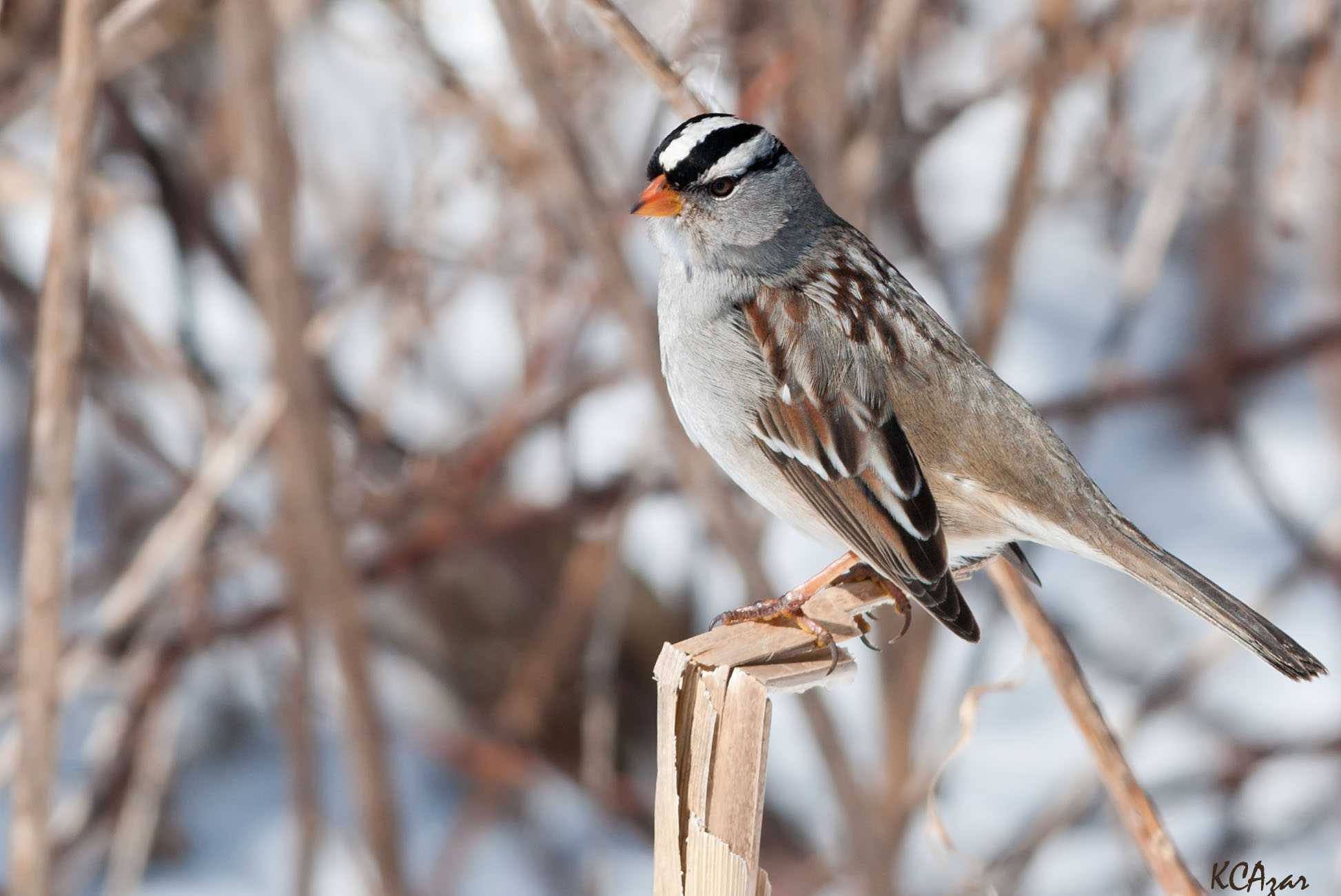 - White-crowned Sparrow (Zonotrichia leucophrys)White-crowned Sparrows live in brushy areas such as chaparral, forest edges, and scrub. Their diet consists of insects, seeds and berries. They weigh 0.9-1 oz. and have a wingspan of 8.3-9.4 in. White-crowned Sparrows sing a series of whistles that end with buzzes or trills. They are protected on the US Migratory Bird list.Photo Credits: Kelly Colgan Azar