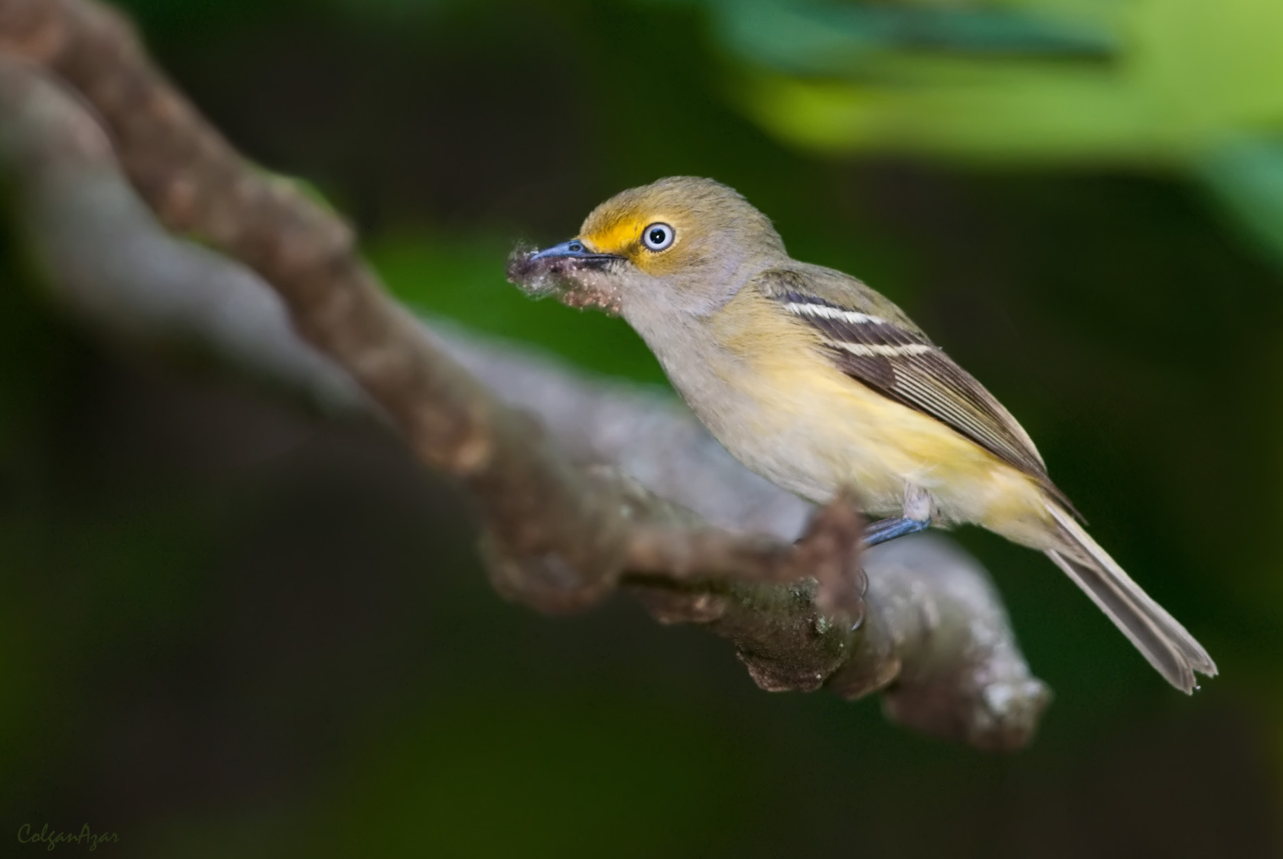 """- White-eyed Vireo (Vireo griseus)White-eyed Vireos live in dense undergrowth such as shrubs and scrub. Their diet consists of insects and berries. They weigh 0.4-0.5 oz. and have an average wingspan of 6.7 in. White-eyed Vireos have multiple calls that sound like """"chip-a-weeoo-chip"""" and """"Quick, give me a rain check."""" They are protected on the US Migratory Bird list.Photo Credits: Kelly Colgan Azar"""