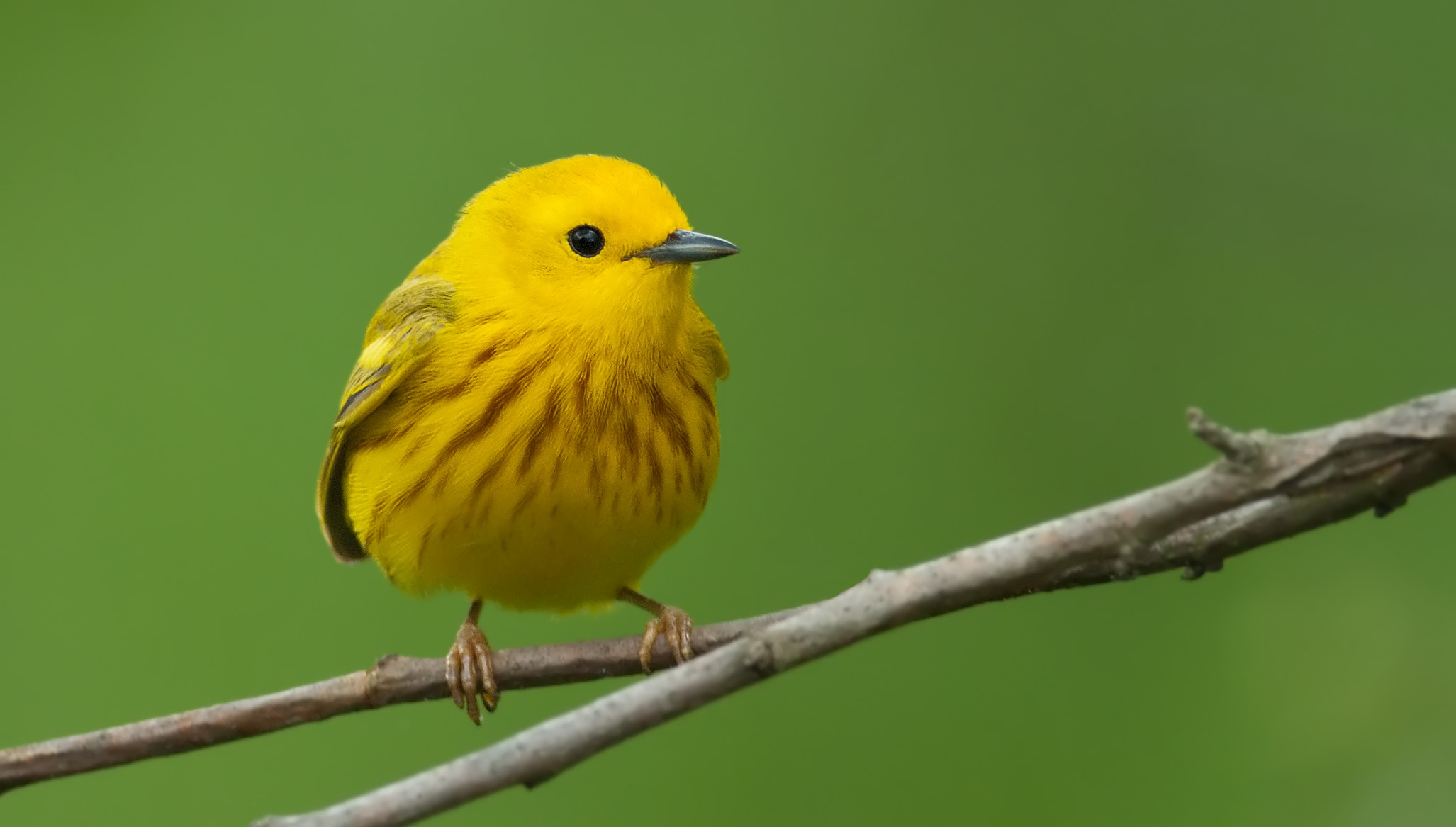 """- Yellow Warbler (Setophaga petechia)Yellow Warblers live in woods bordering bodies of water. Their diet includes insects such as leafhoppers, caterpillars, and flies, and berries. They weigh 0.3-0.4 oz. and have a wingspan of 6.3-7.9 in. Yellow Warblers sing a well-known song that says """"sweet-sweet-sweet. I'm so sweet."""" They are protected on the US Migratory Bird list.Photo Credits: Kelly Colgan Azar"""