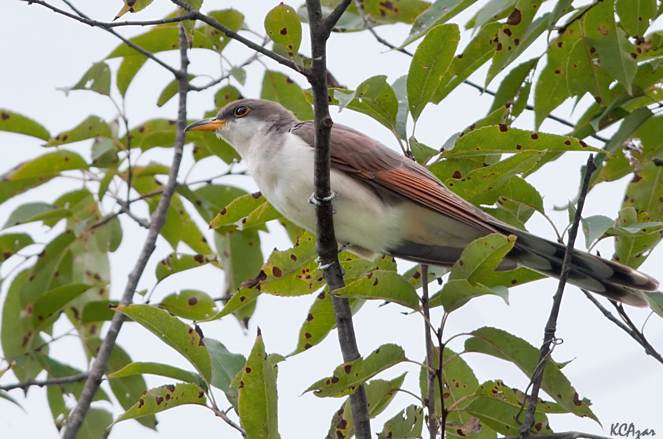 """- Yellow-billed Cuckoo (Coccyzus americanus)Yellow-billed Cuckoos live in mostly deciduous woods near a source of water. Their diet consists of insects such as hairy caterpillars, amphibians, berries, and seeds. They weigh 1.9-2.3 oz. and have a wingspan of 15-16.9 in. Yellow-Billed Cuckoos make a wooden sounding """"ka-ka-ka-ka-ka-ka-kow-kow-kow-kowp-kowp"""" noise that slows as it ends. They are protected on the US Migratory Bird list.Photo Credits: Kelly Colgan Azar"""