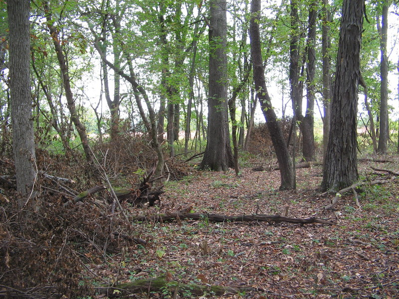 Piles of brush (honeysuckle:  Lonicera maackii) accumulate where the forest floor is opened to receive sunlight.