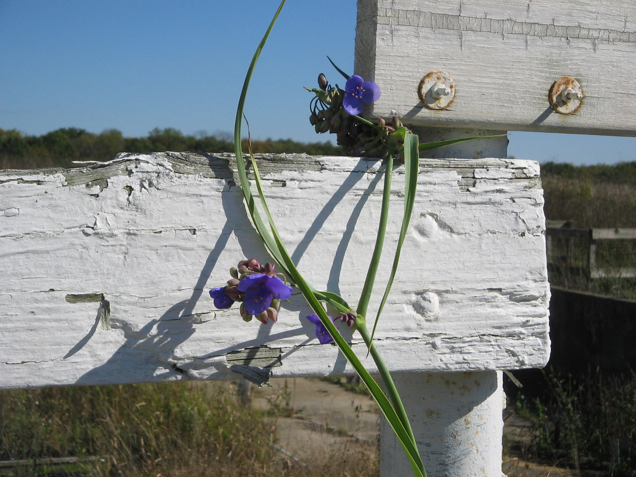 spiderwort ( Tradescantia ohiensis )
