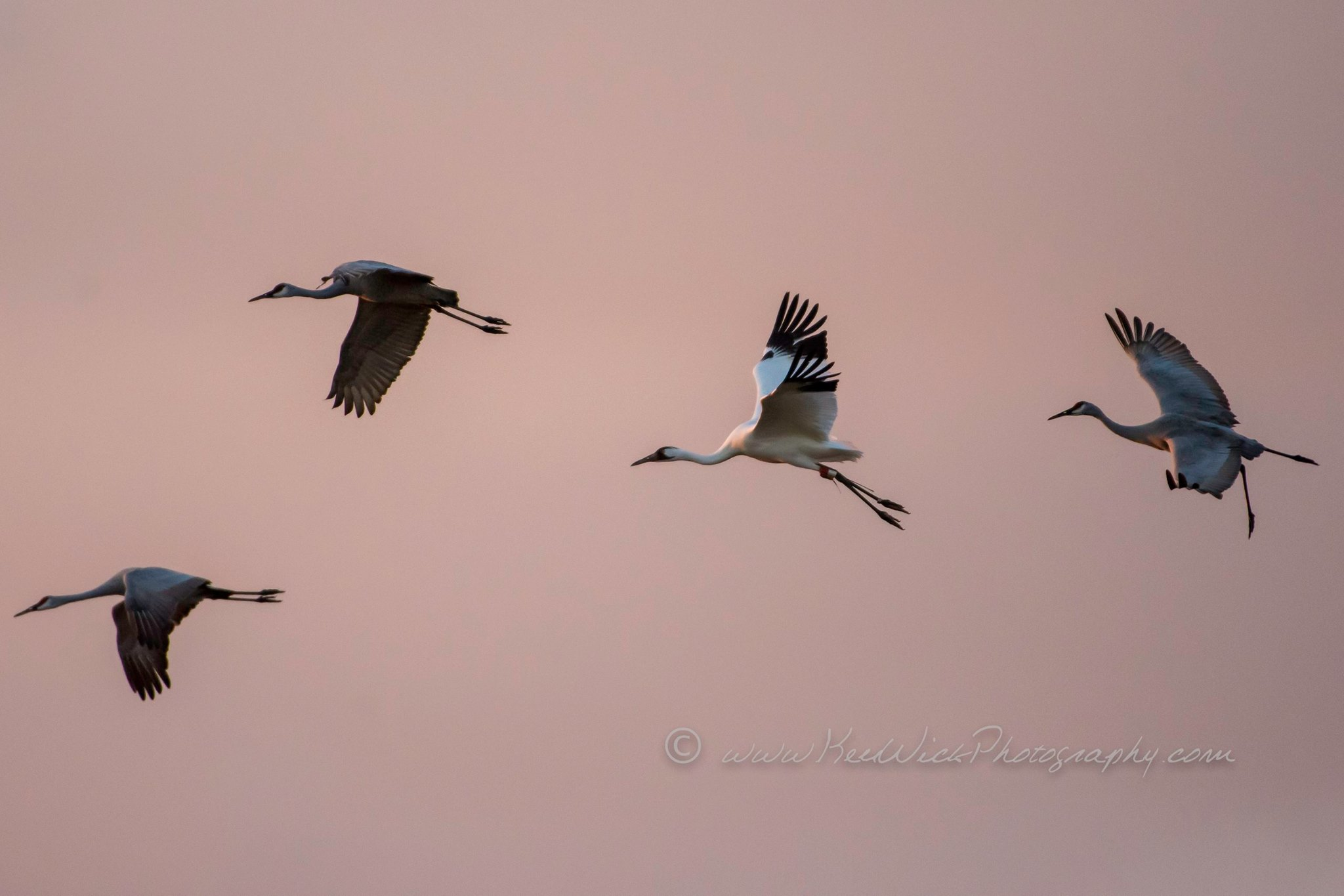 A Whooping Crane, accompanied by Sandhill Cranes, above McHenry County, Illinois, during autumn migration, November 15, 2017. Photo by Ken Wick.