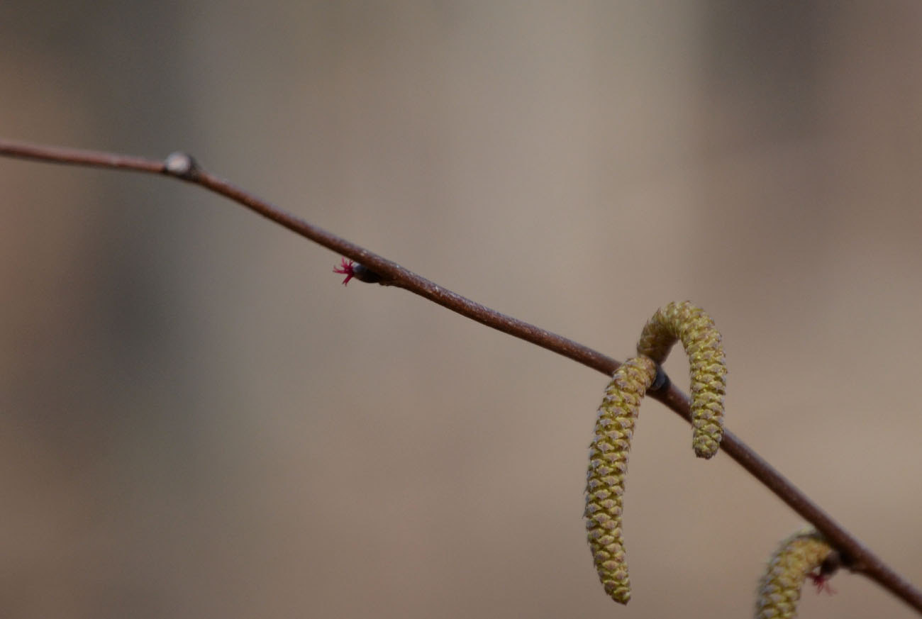 Female (pistillate) flowers of hazelnut (Corylus americana) exert their magenta stigmata (left center) while male (staminate) catkins dangle nearby,
