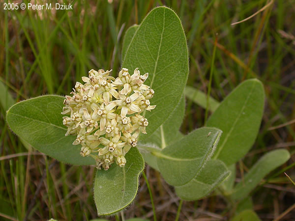 Woolly Milkweed -  A. lanuginosa    Photo credit:  MN Wildflowers and Peter Dzuik
