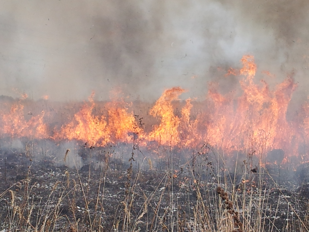 Prescribed fire rejuvenates a prairie.