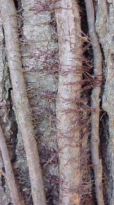 Poison ivy rootlets (photo credit: Jim Mason, Great Plains Nature Center)