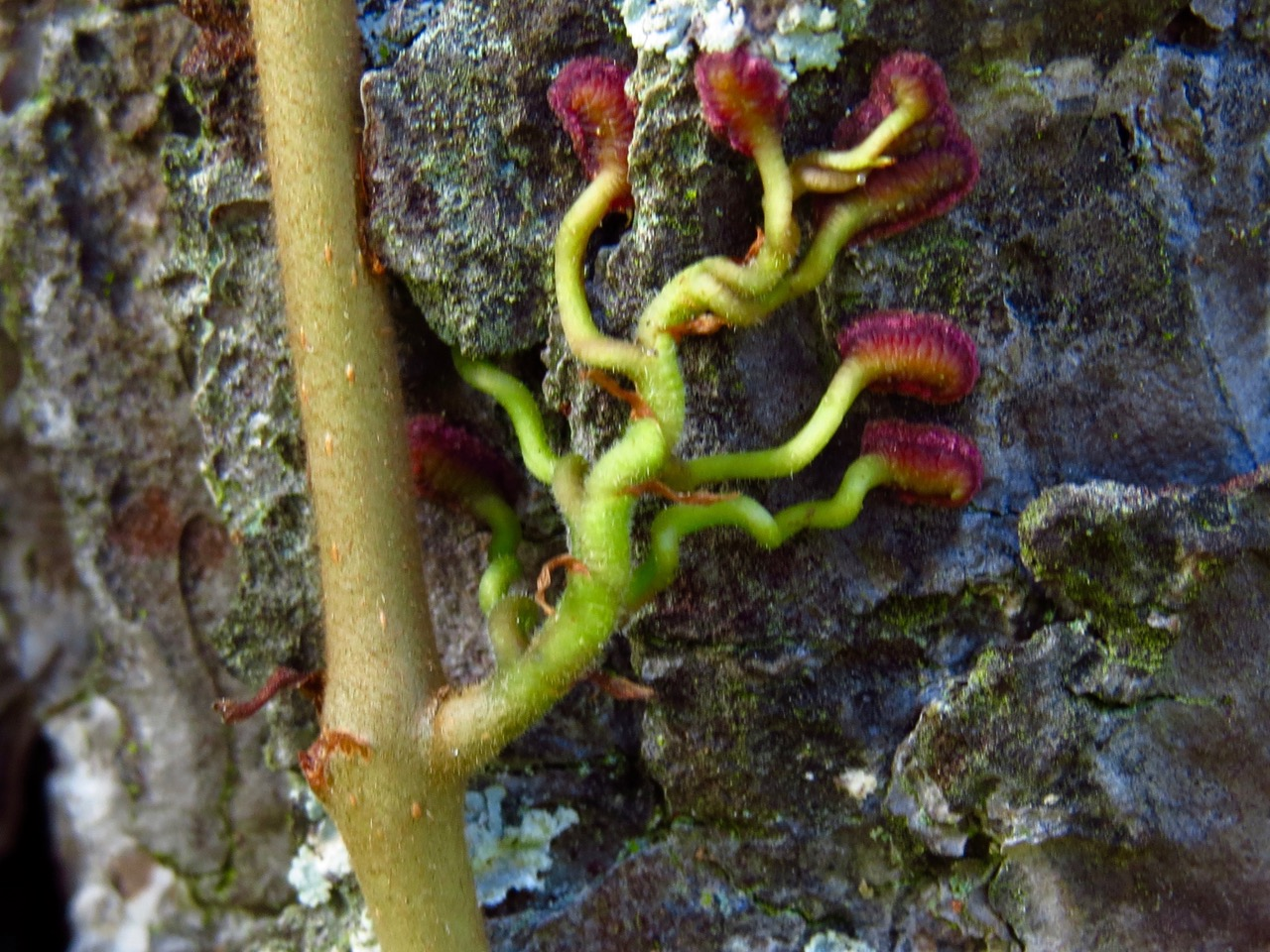 Close-up of Virginia creeper tendril with pads (photo credit: Dale Hoyt, Nature Rambling blog).