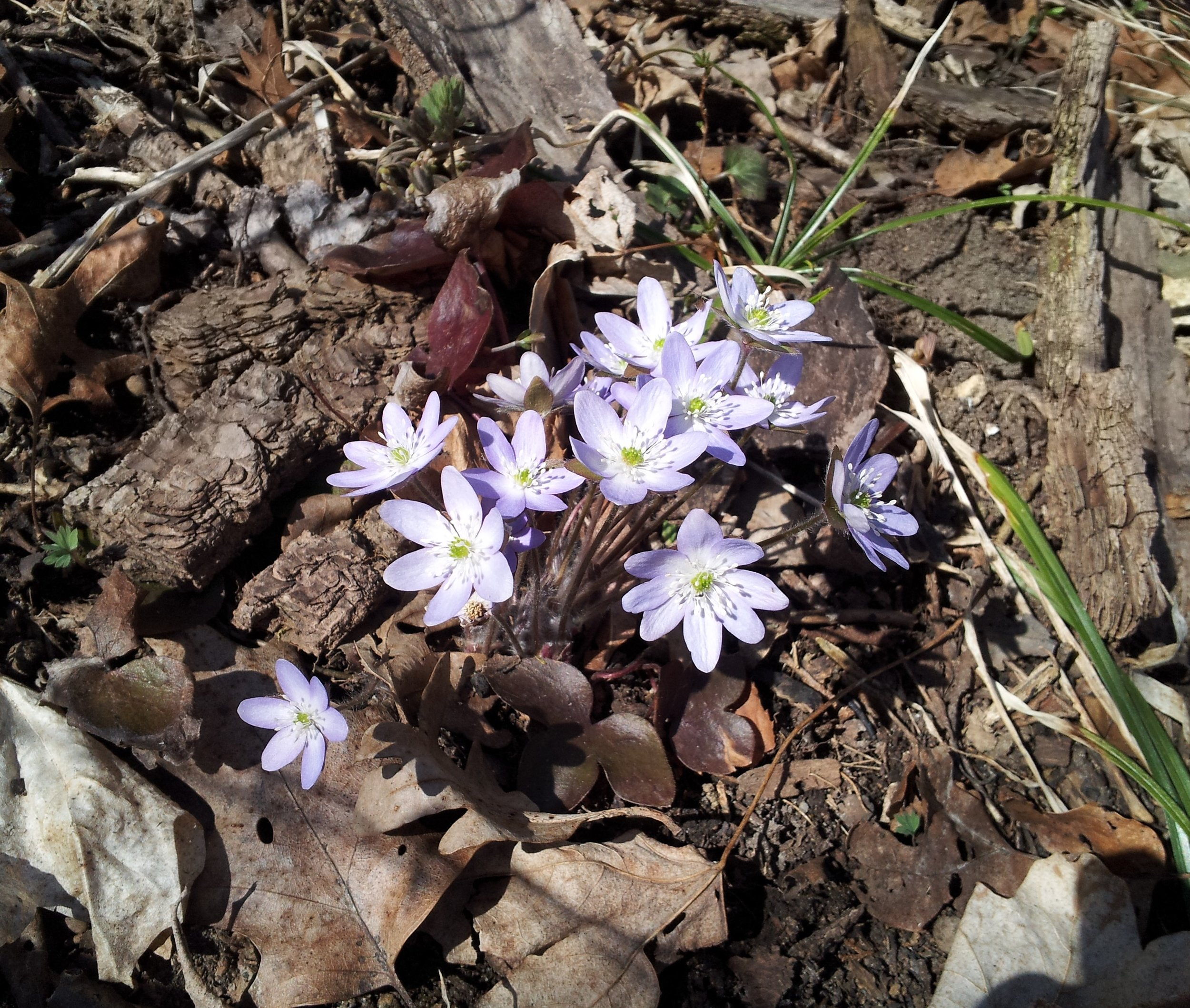 Sharp-lobed hepatica (Anemone acutiloba) is a delicate flower of wooded slopes.  Photo from Severson Dells April 24, 2018.