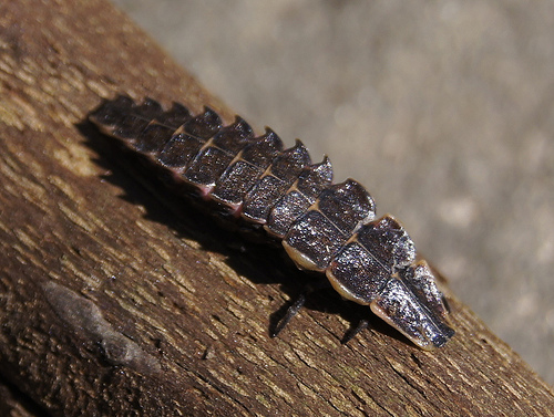 A lightning bug larva is a fearsome sight—at least to its prey.