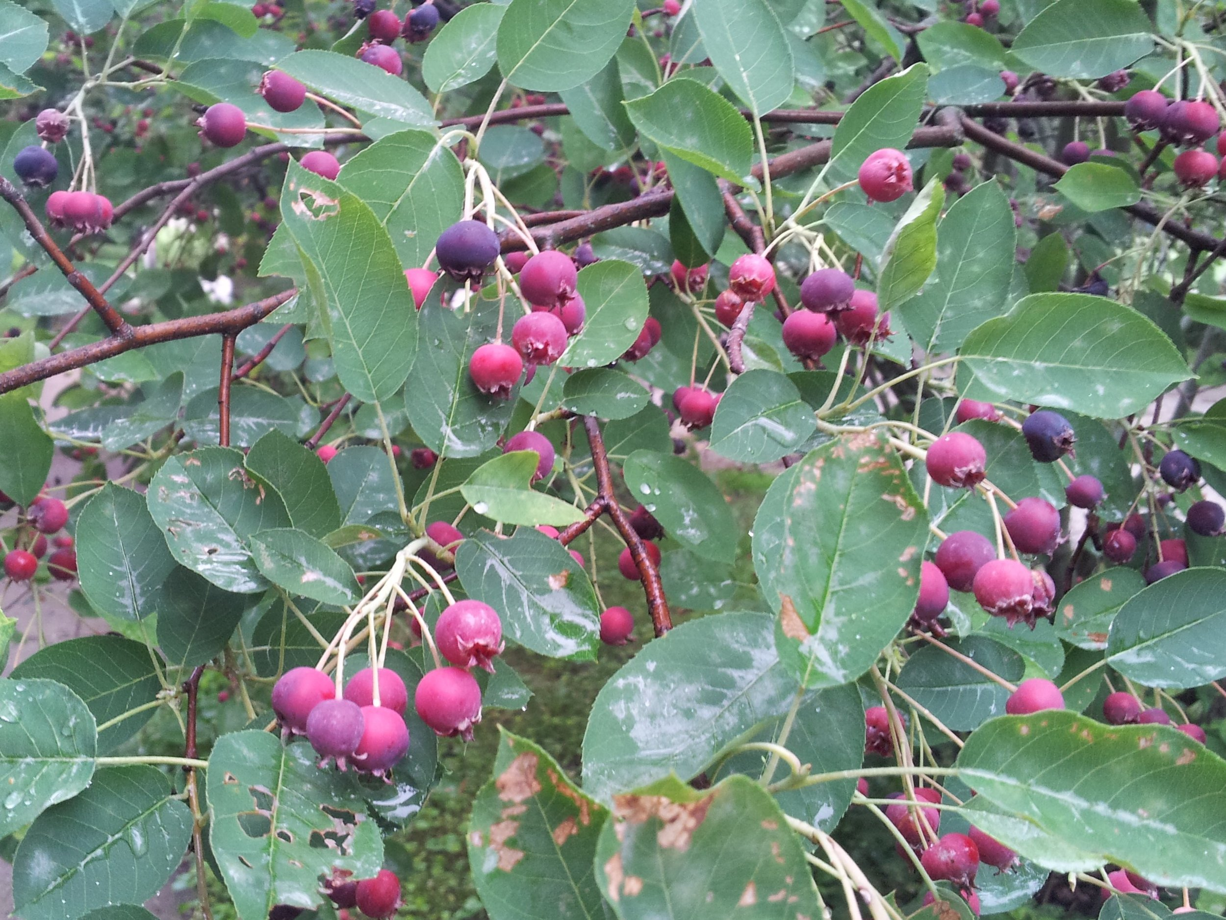 Ripening Juneberries attract birds (and people).