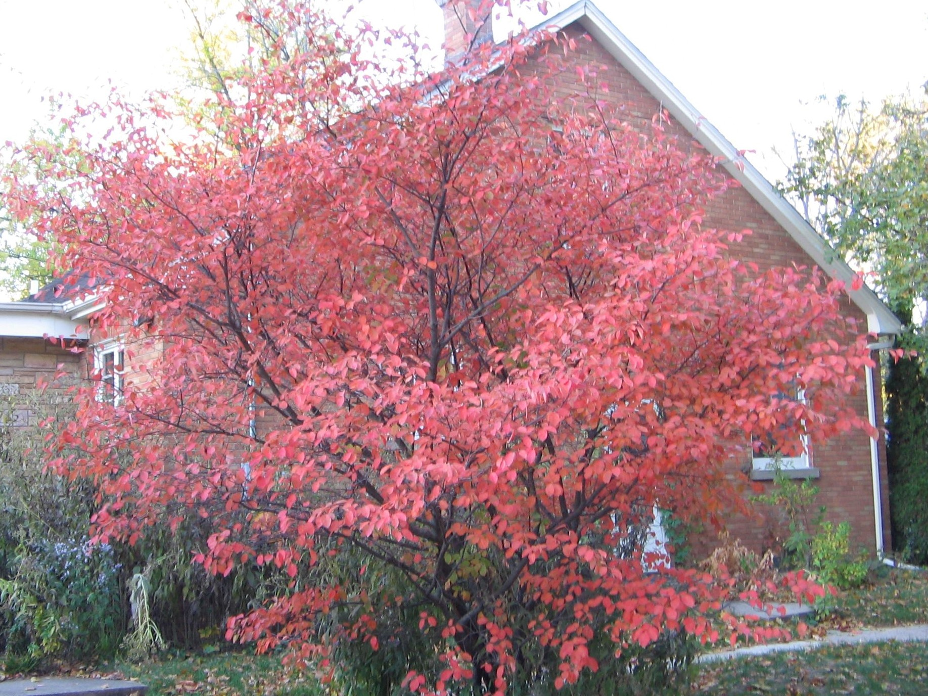 Amelanchier  in autumn splendor