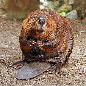 Physiological adaptations like webbed feet and a flat tail enable beavers to thrive in aquatic environments.