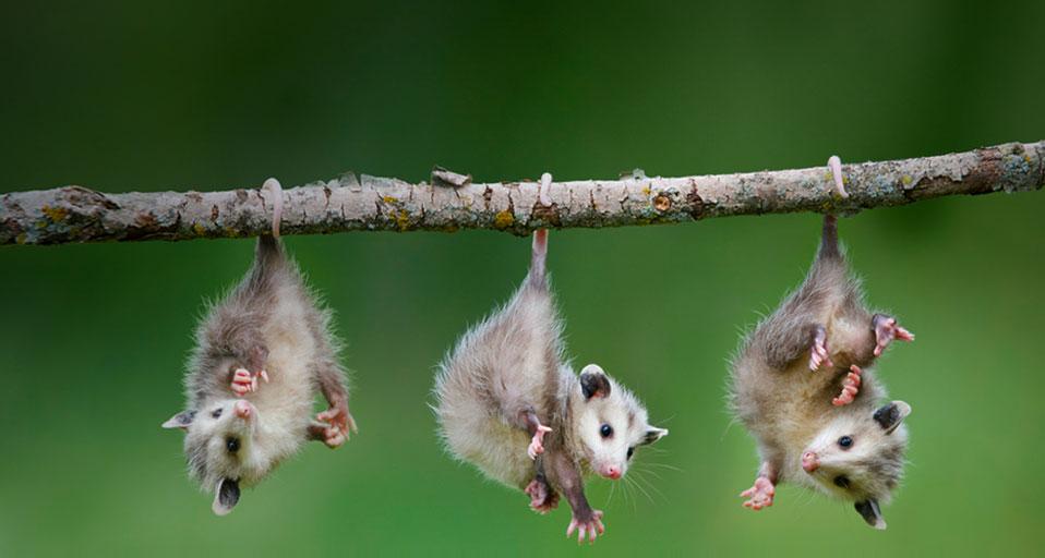 baby-opossum.jpg