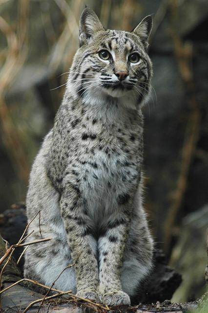 Bobcats.jpg