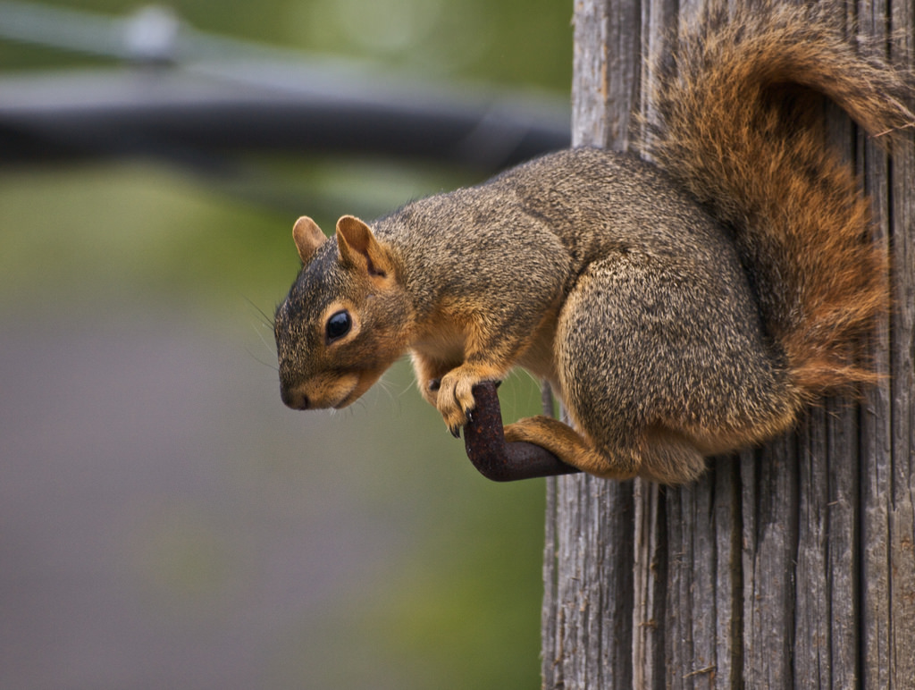 foxsquirrel.jpg