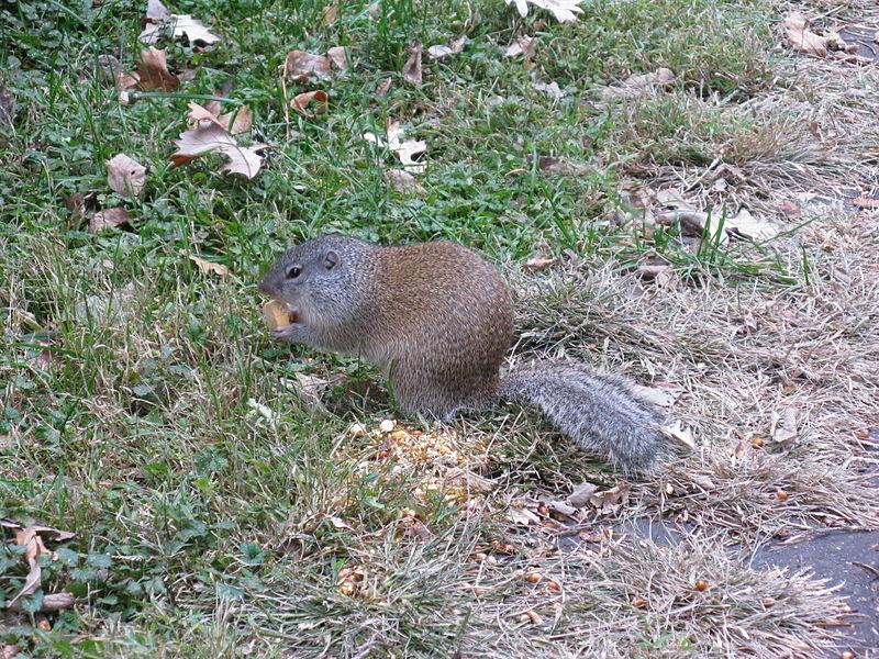 franklins ground squirrel.jpg