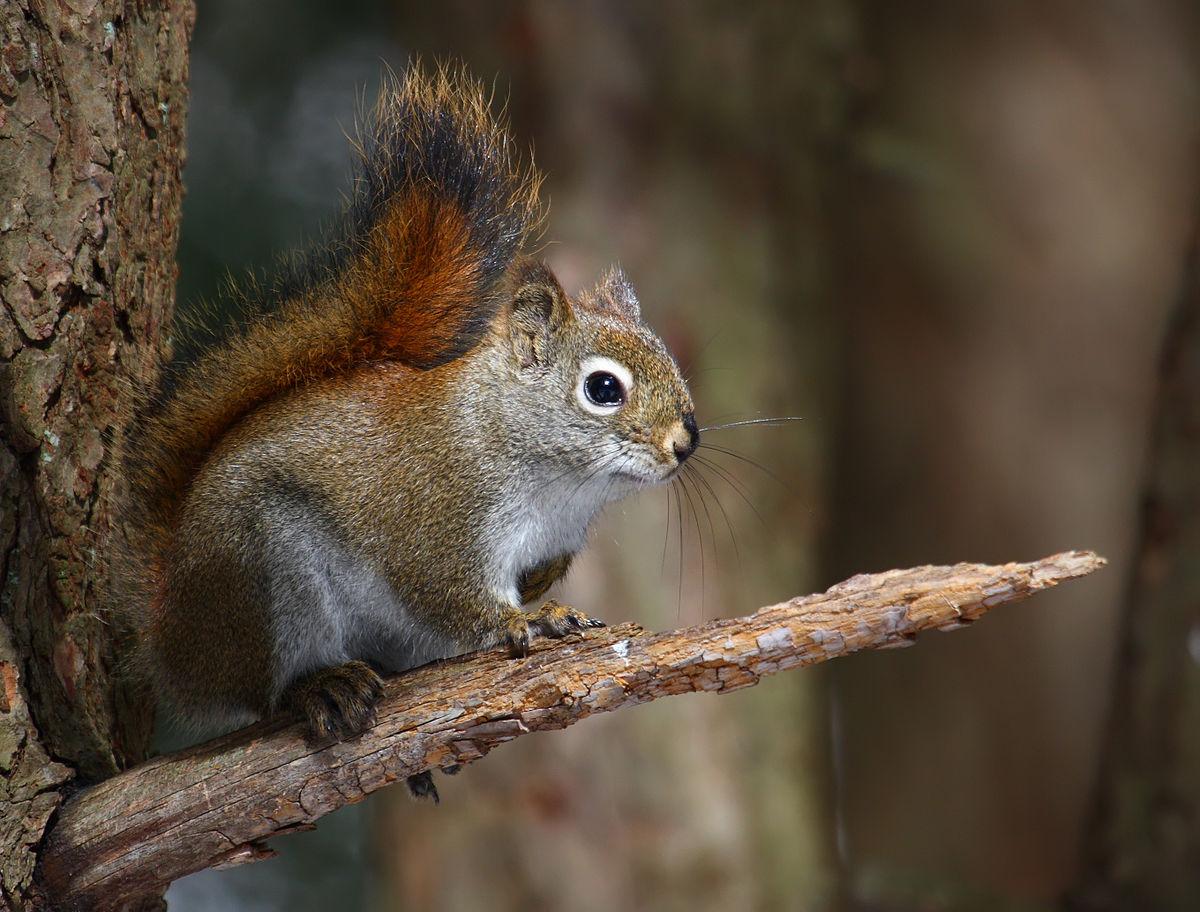 american red squirrel.jpg