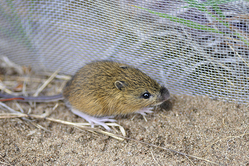 meadow jumping mouse.jpg