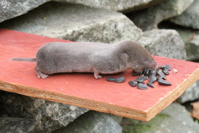 north-american short-tailed shrew.jpg