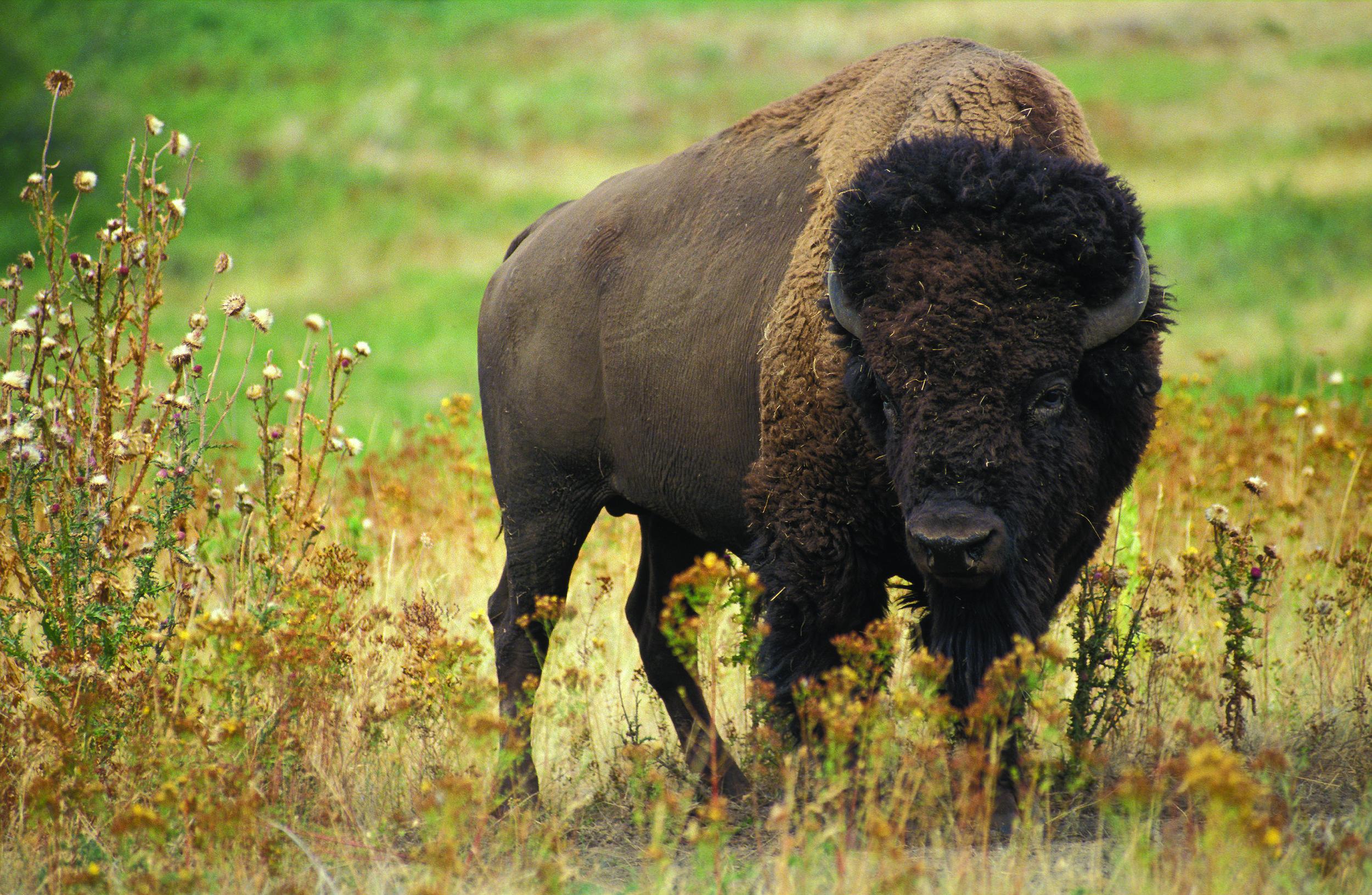 American Bison ( Bison bison )